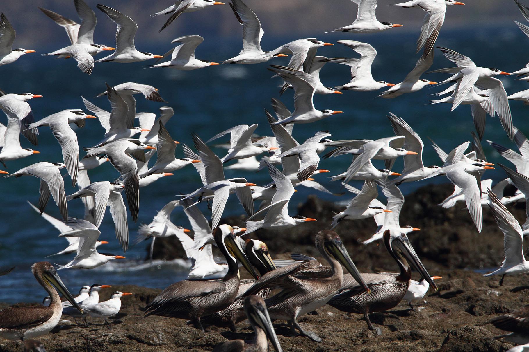 ...sorgen die zahlreichen Königsseeschwalben und Braunpelikane