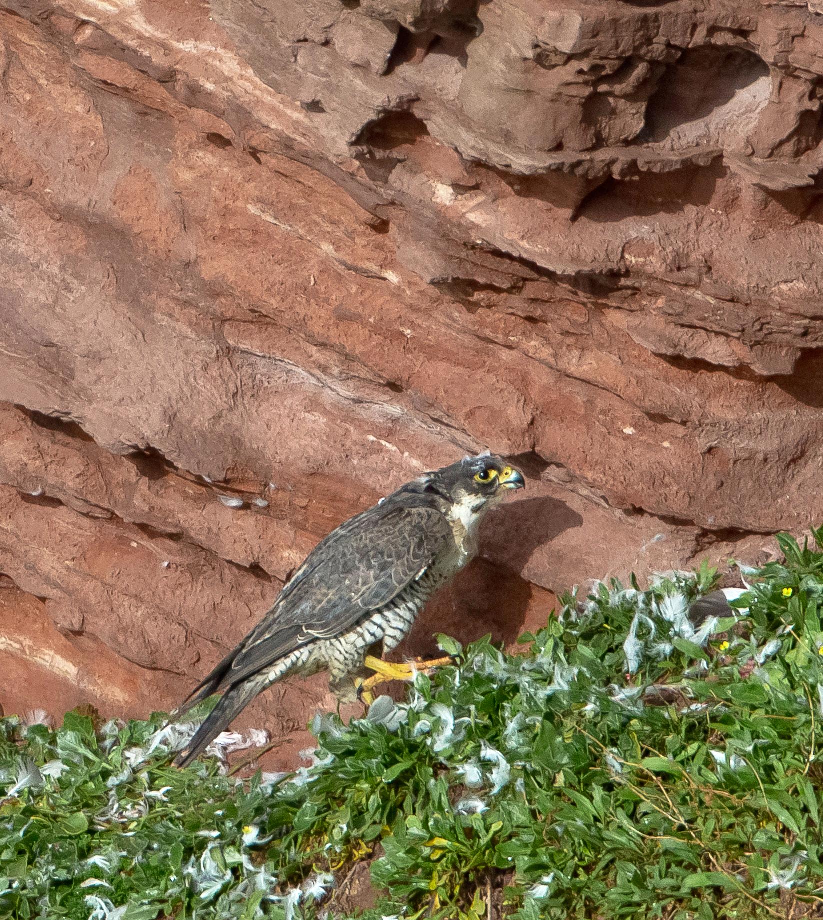 Wanderfalke, Helgoland, Deutschland (Vogel des Jahres 2018)