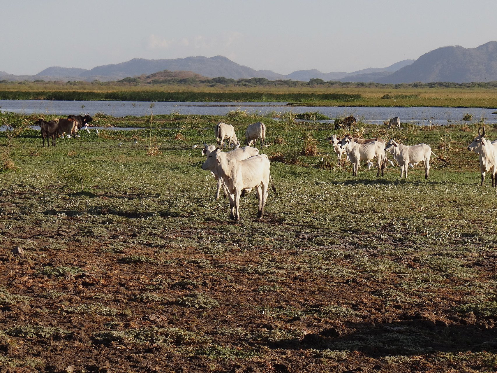 Der Palo Verde Nationalpark liegt im Nordwesten Costa Ricas, eine Gegend mit viel Viehzucht