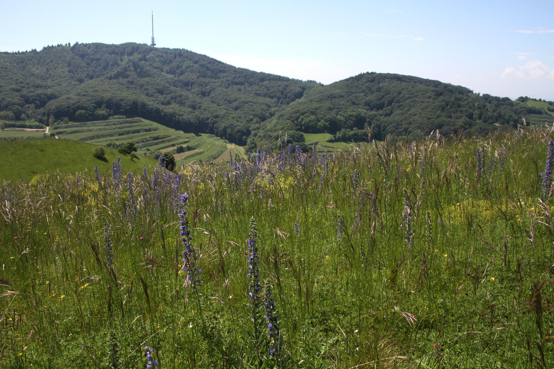Auf dem Badberg gibt es noch viele naturnahe Trockenwiesen