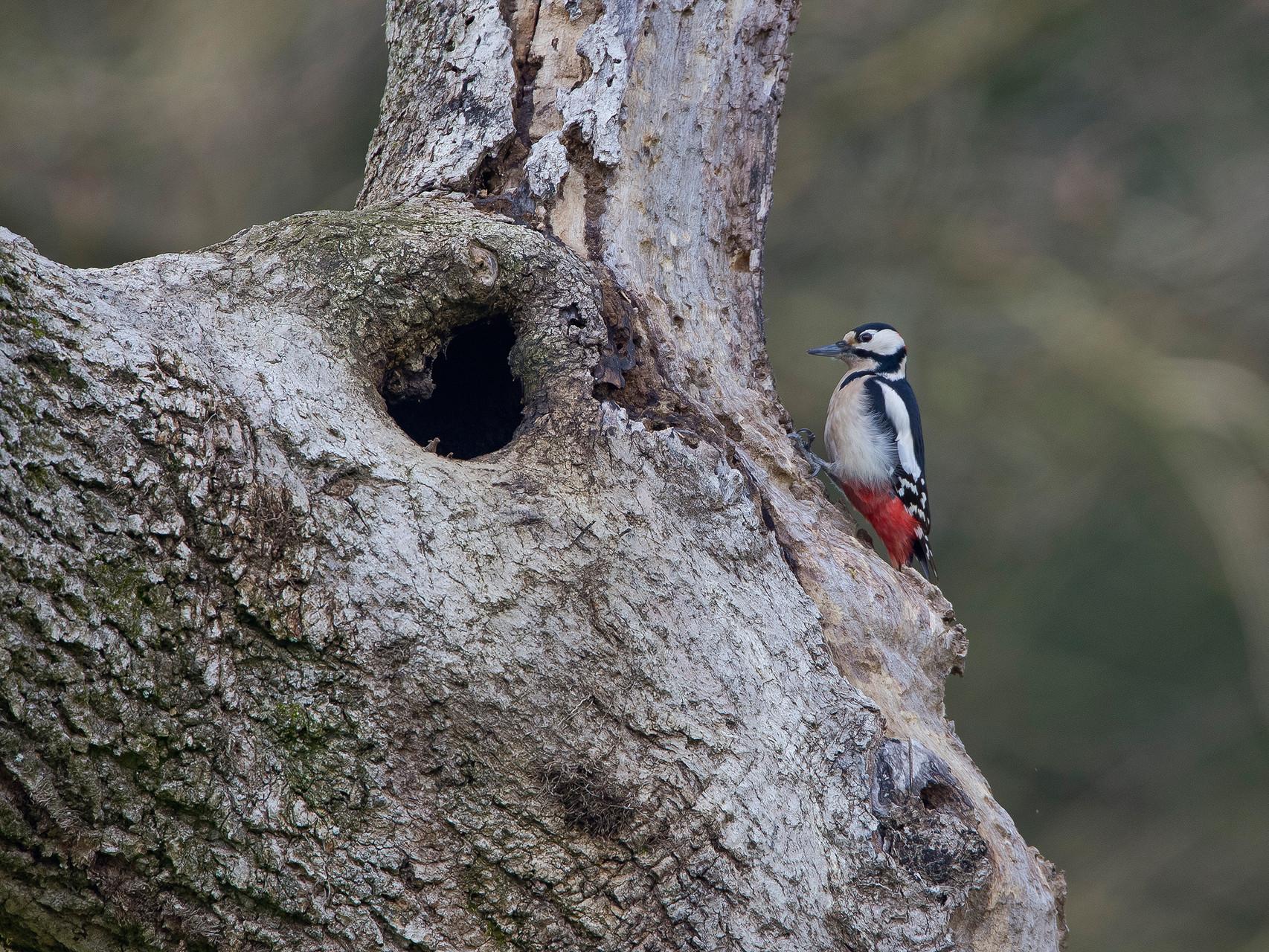 Der Buntspecht kommt überall vor, wo es dickere Bäume hat, sowohl im Wald und Kulturland als auch im Siedlungsraum...