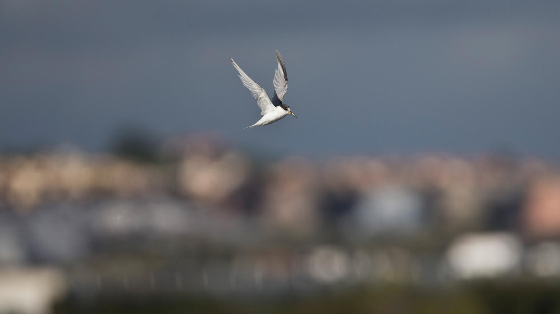 Zwergseeschwalbe vor der Kulisse von Ayamonte