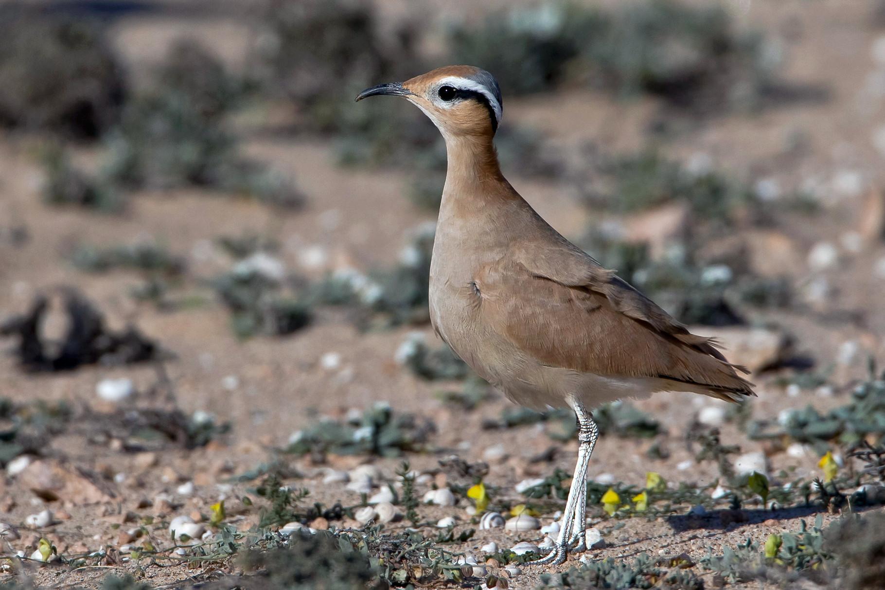 In der Jandia gibt es eine grössere Population von Rennvögeln
