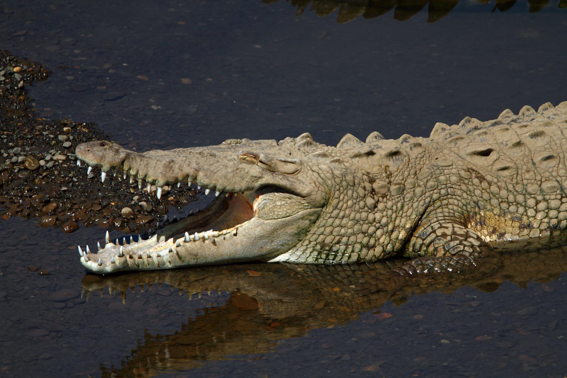 Im Feuchtgebiet des Carara Nationalparks treffen wir auf Krokodile...
