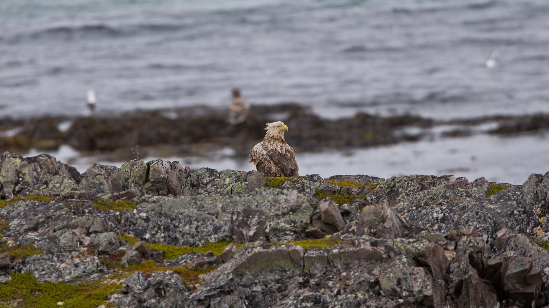 An der Varanger-Küste findet sich eine der dichtesten Seeadler-Populationen der Welt