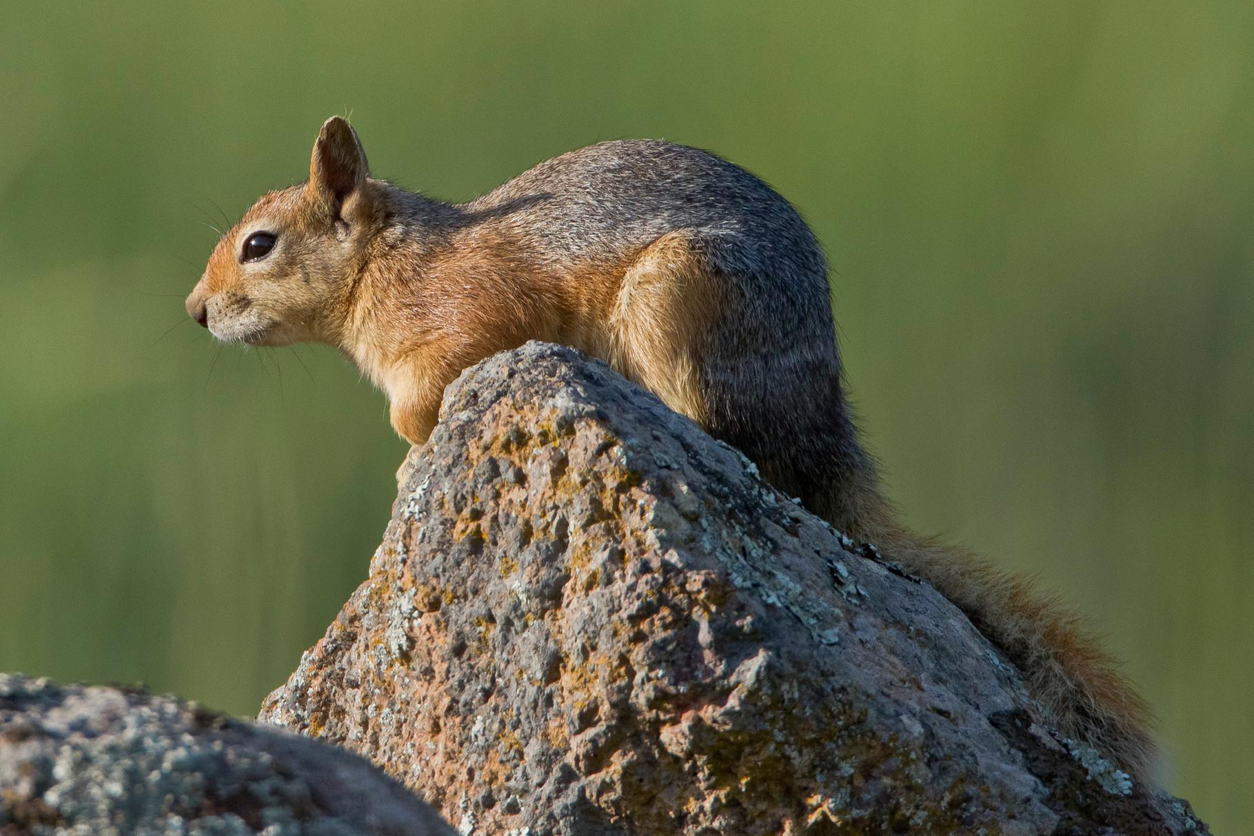 ...wo wir auch auf dieses Baumhörnchen treffen (ist es ein Kaukasisches Eichhörnchen?)