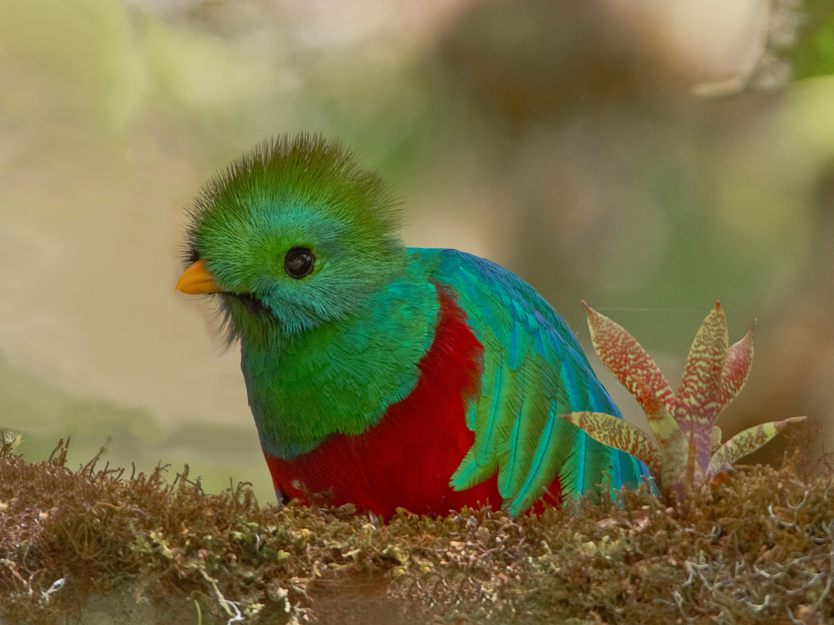 Quetzal, Savegre Lodge, Costa Rica