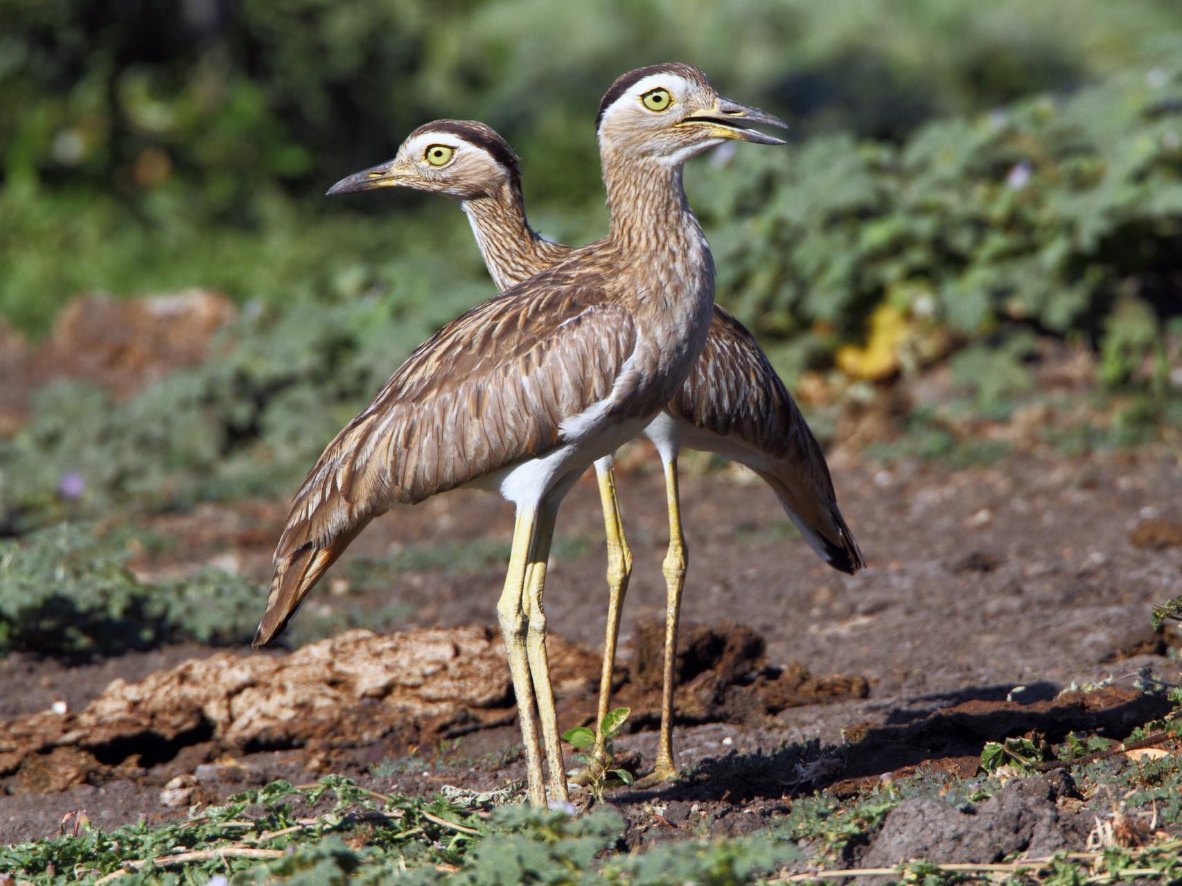 Dominikaner-Triele sind ziemlich lärmige Vögel