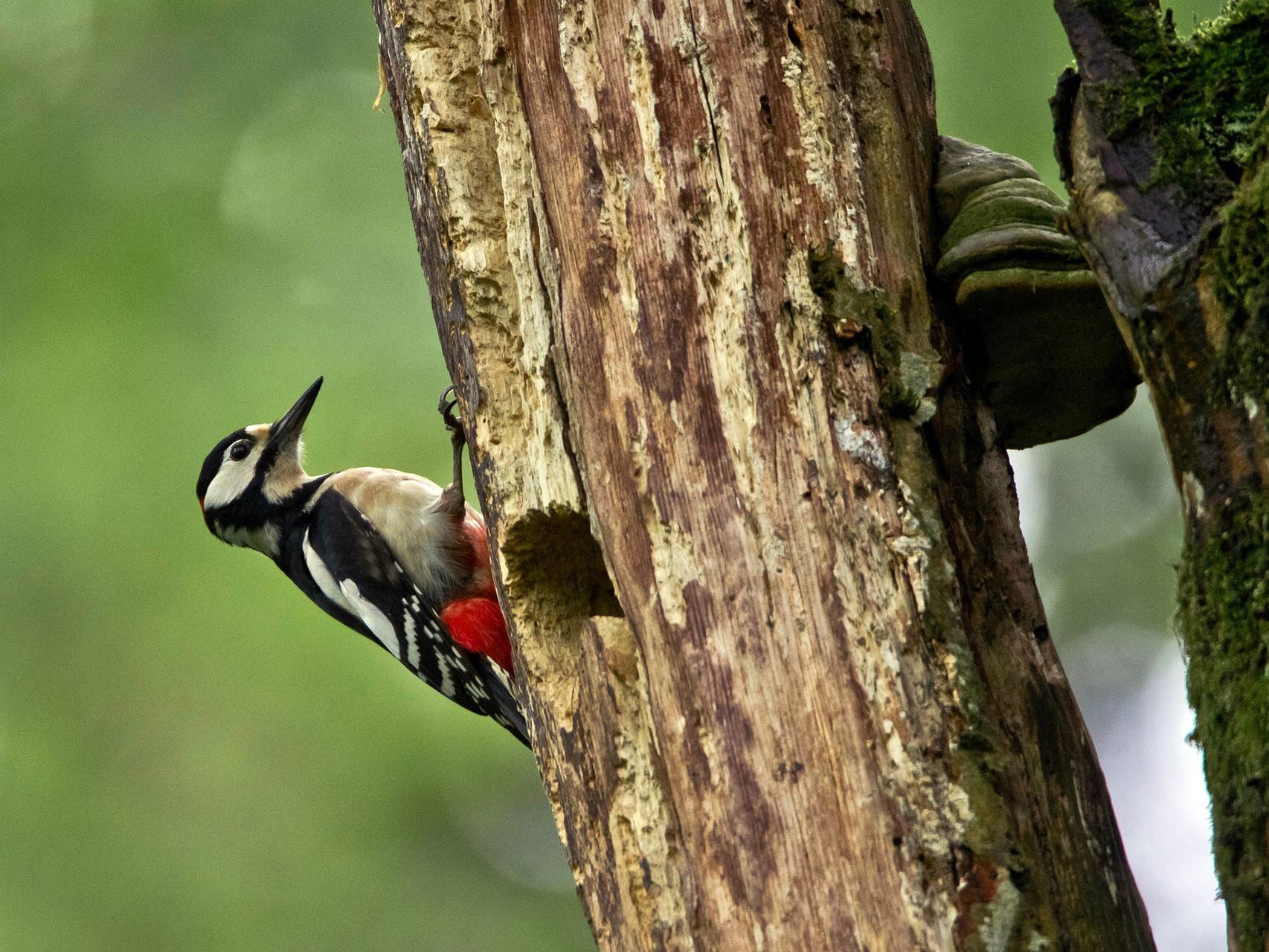 Bereits ab Februar beginnt die Balz der Buntspechte. Sowohl Männchen wie Weibchen trommeln dabei auf morsche Äste