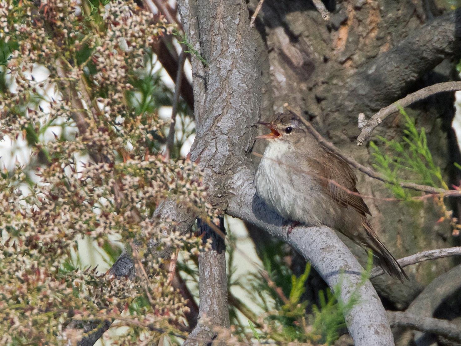 Hier singt der Seidensänger pausenlos in den Büschen...