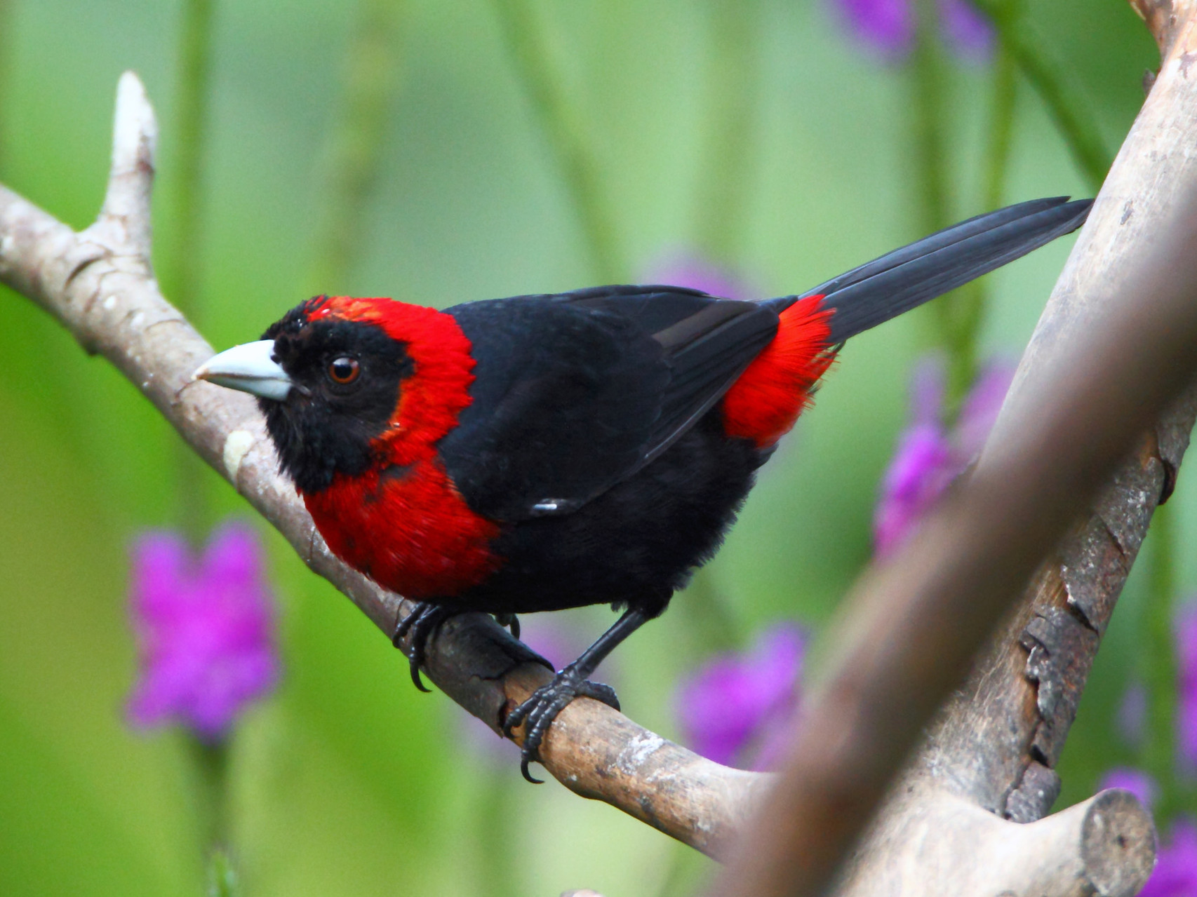 Die Rancho Naturalista Lodge in Turrialba erwartet uns mit einer bunten Vogelwelt: Flammentangare...
