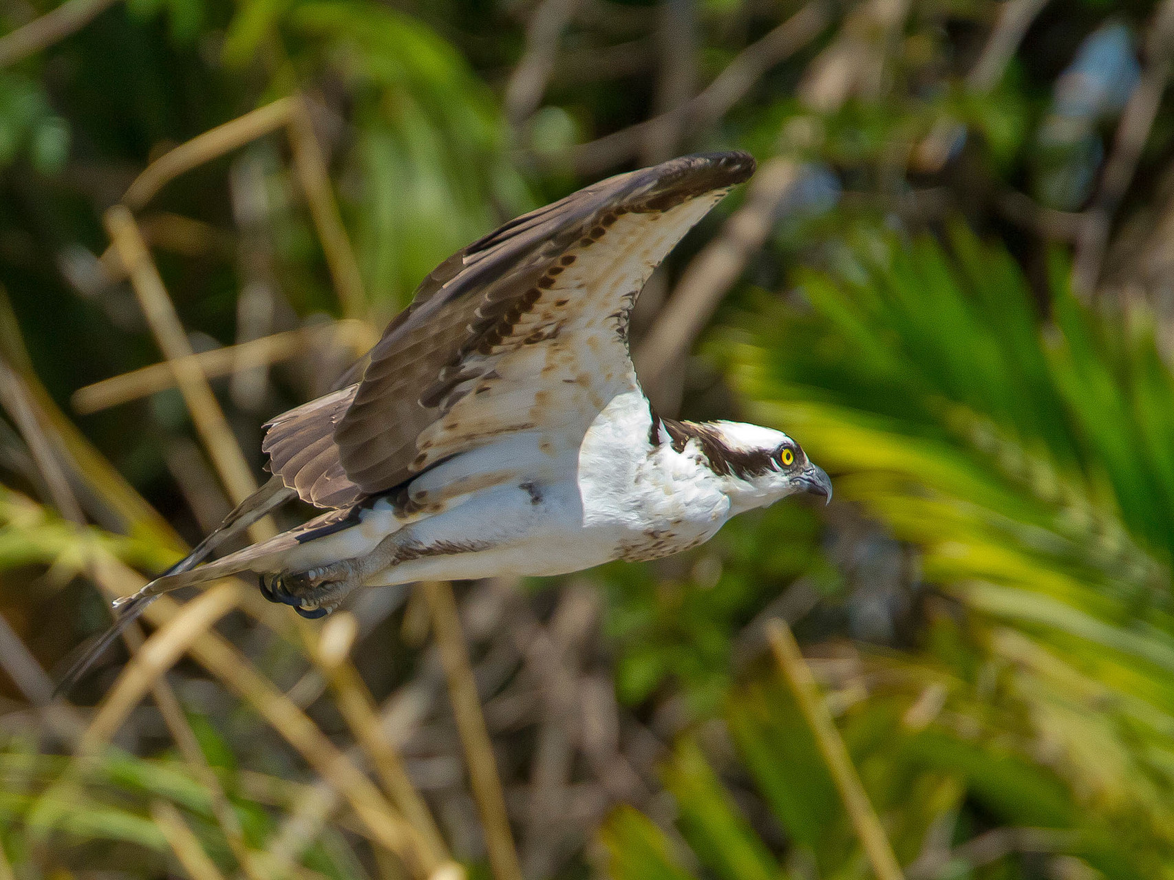 Am Rio Tempisque jagt der Fischadler...