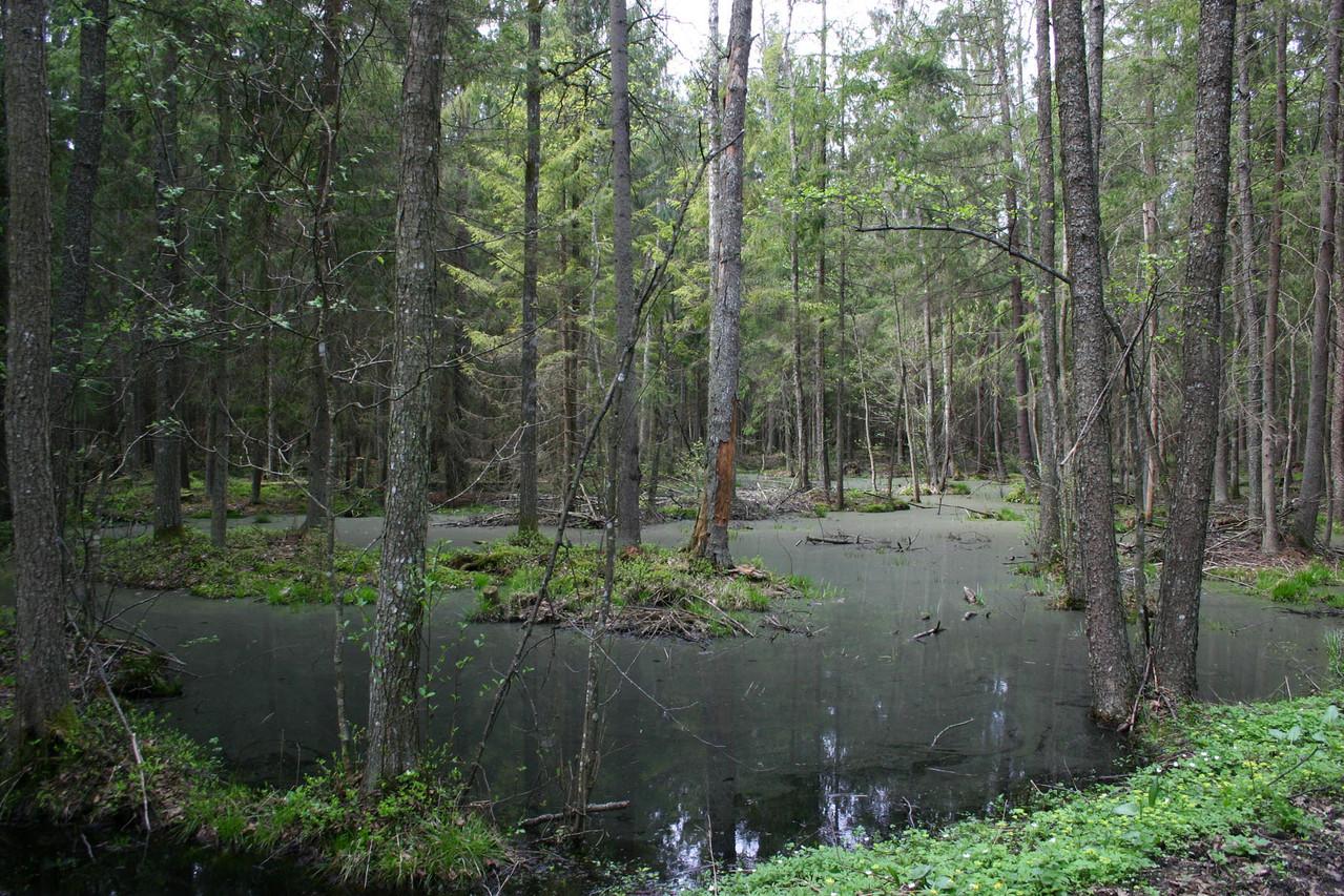 Überfluteter Wald bei Wysokie Bagno...