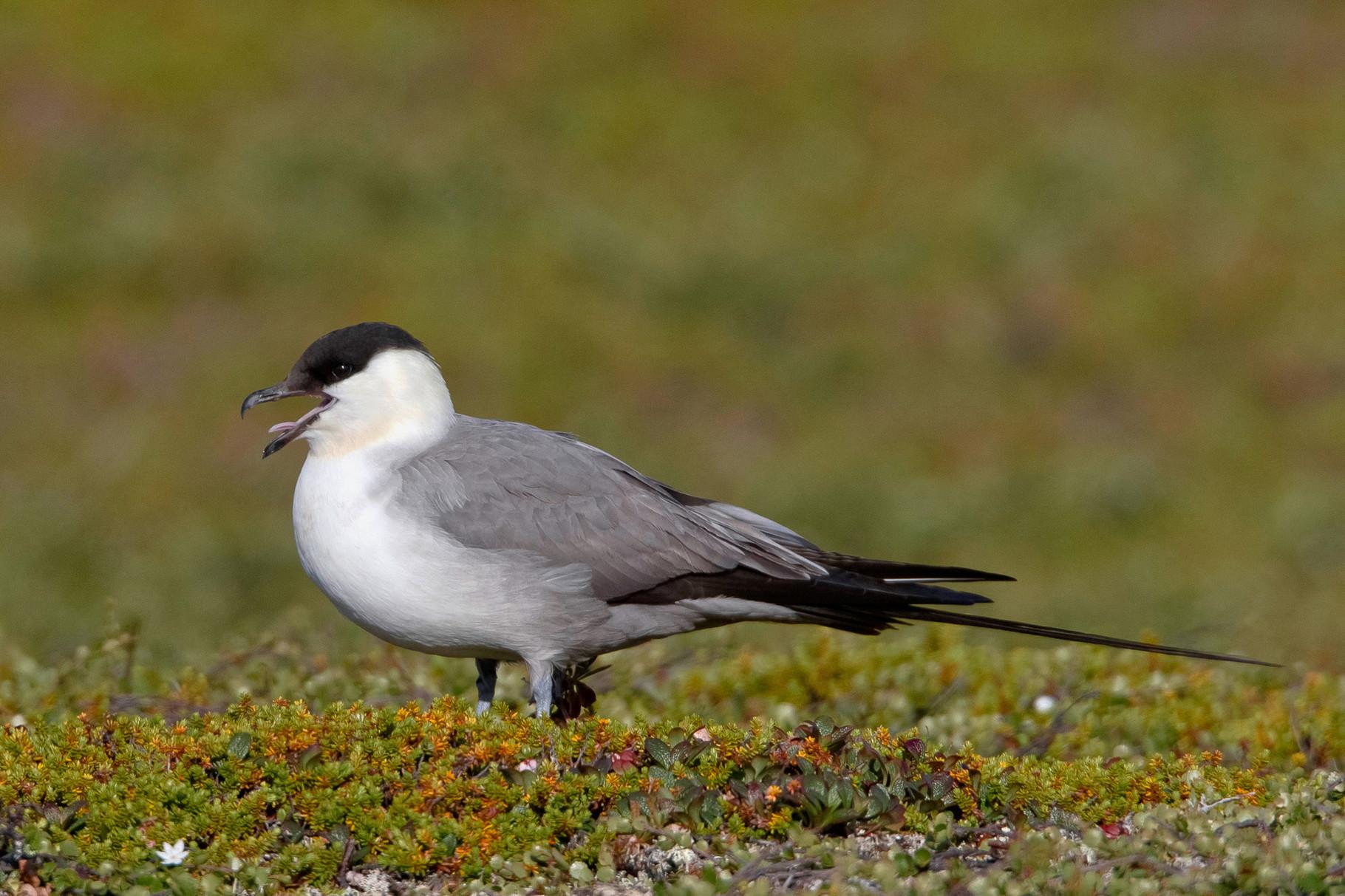 ...sowie Falkenraubmöwen (Long-tailed Skua)