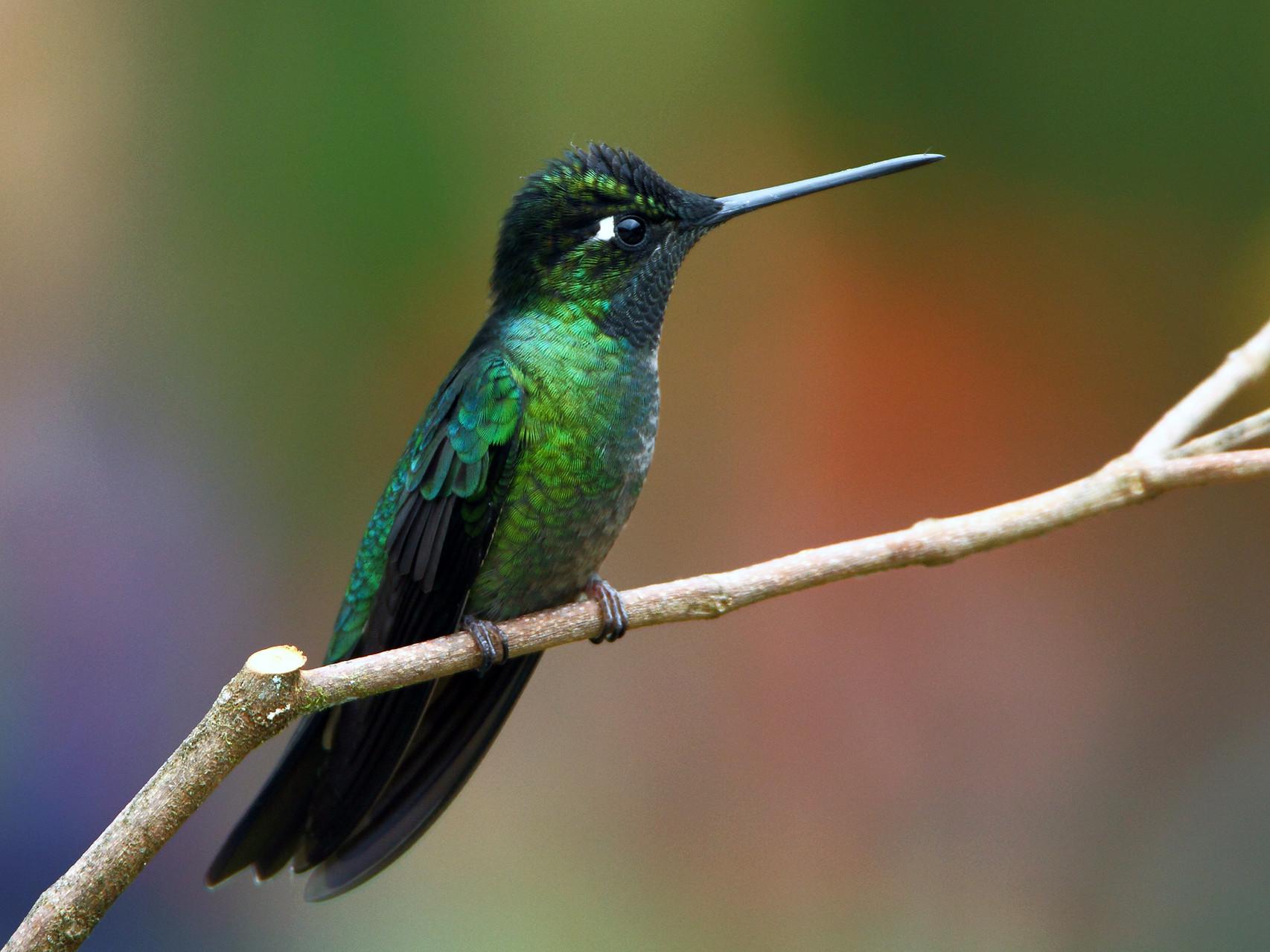 Violettkron-Brilliantkolibri, Savegre Lodge, Costa Rica