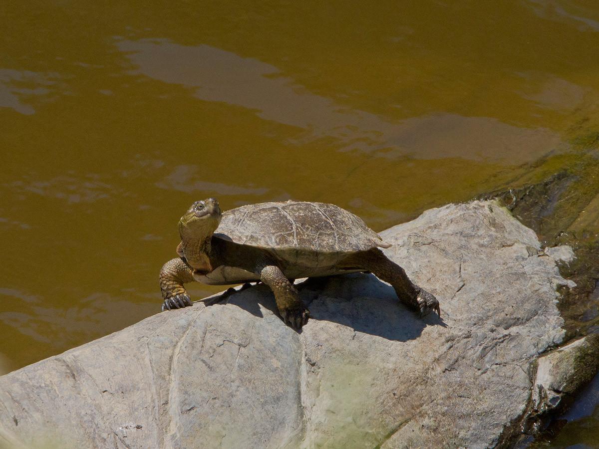 Sumpfschildkröte am Rio Magasca