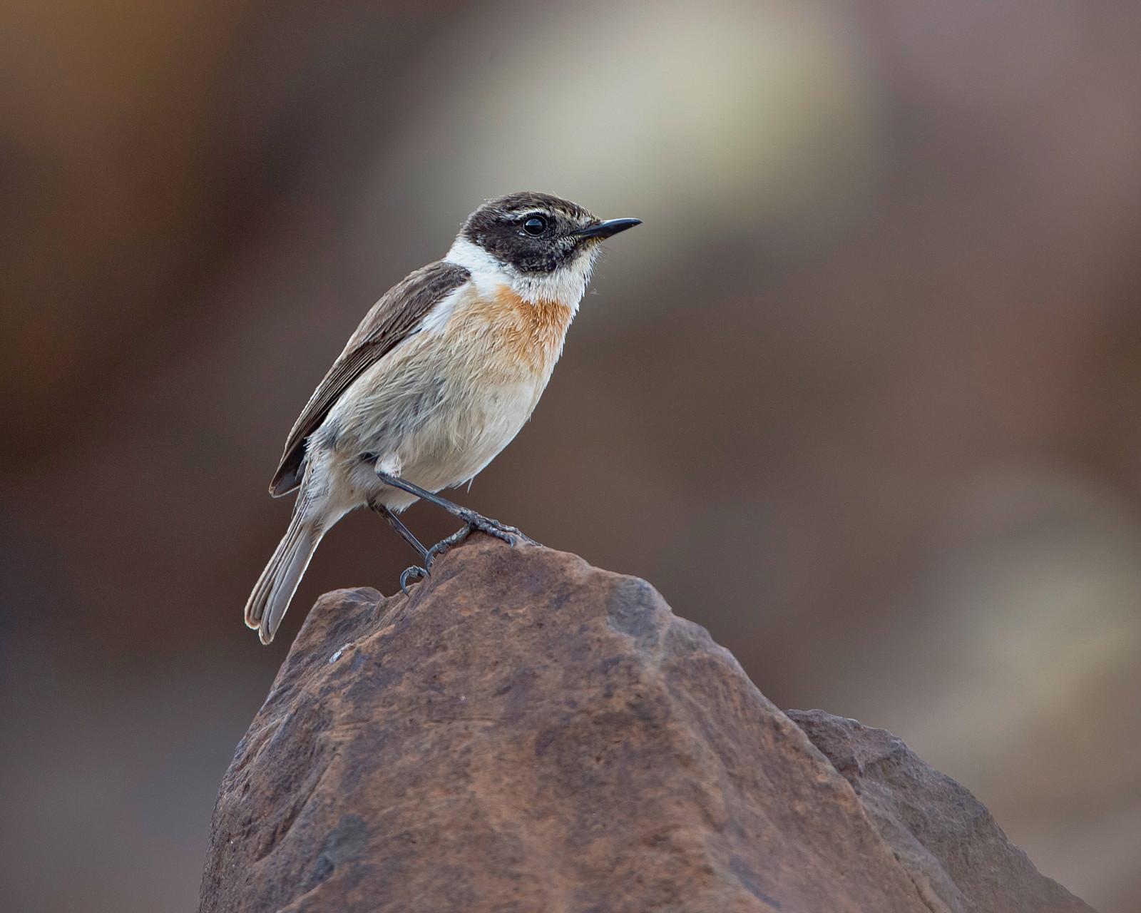 ...die ausschliesslich auf Fuerteventura brütet (nirgendwo anders auf der Erde)