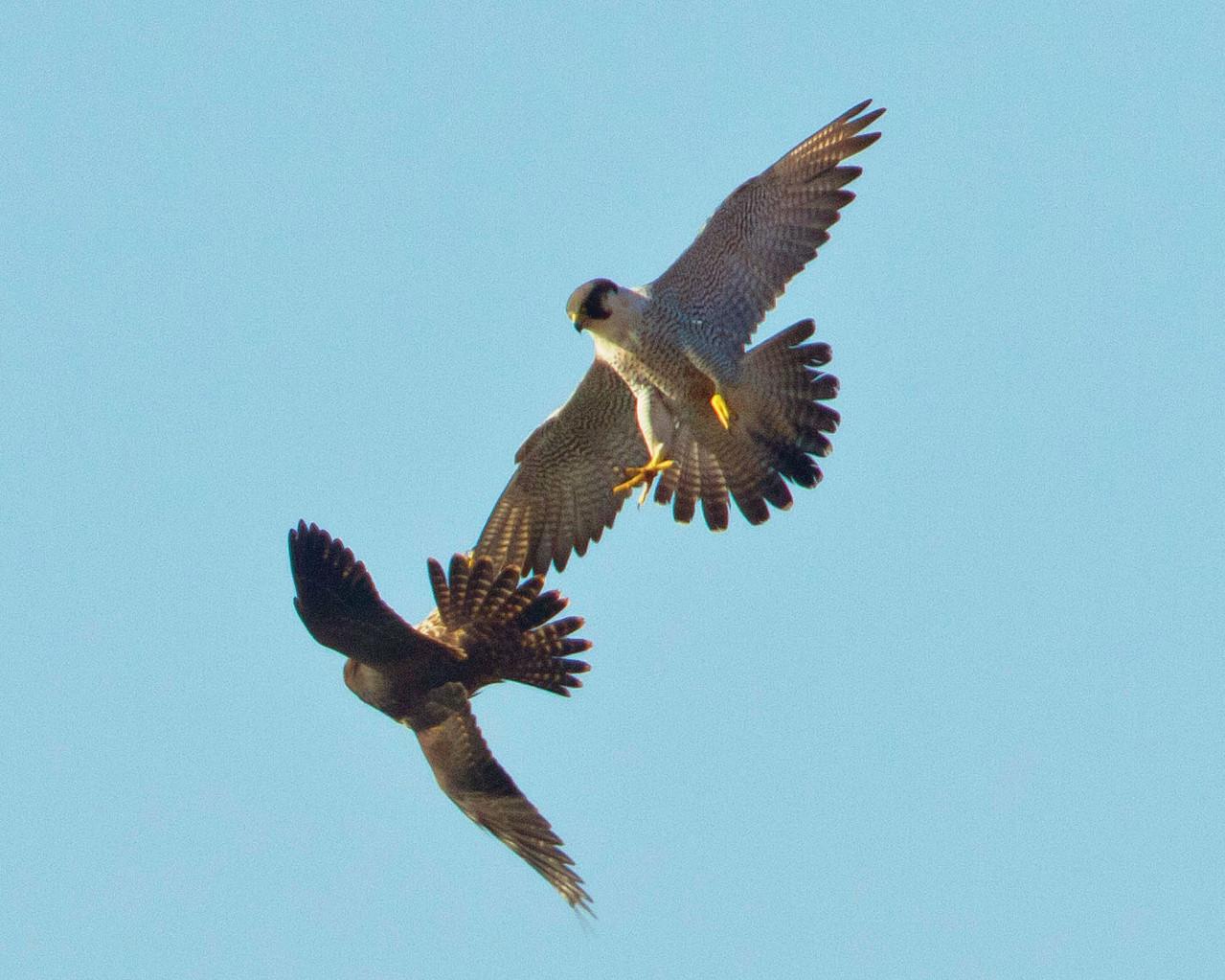 Luftkampf von zwei Wanderfalken