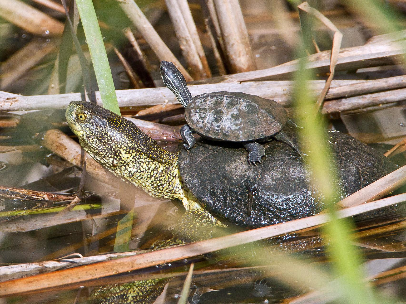 Am See gibt es zahlreiche Sumpfschildkröten