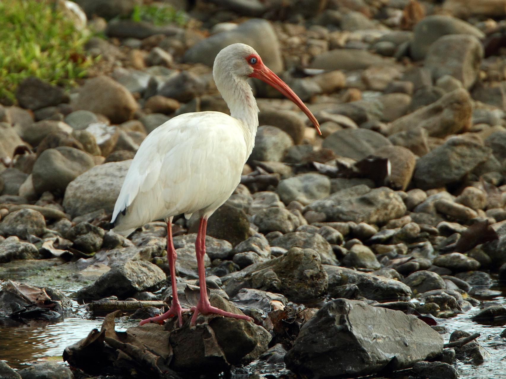 ..und den Weissen Ibis