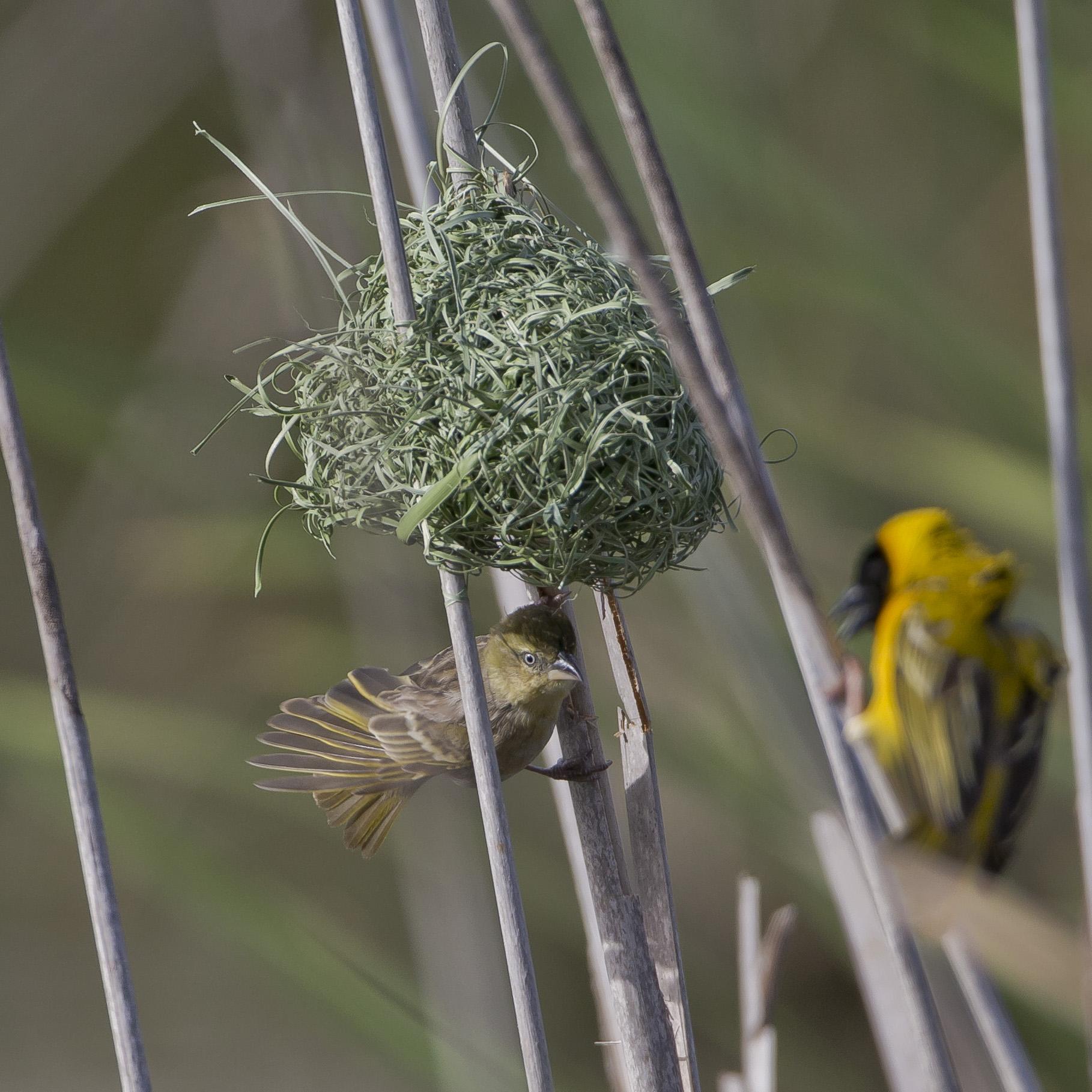 ... andernfalls wird das Nest von den Weibchen ignoriert und das Männchen zerstört letztendlich sein selbstgebautes Nest.