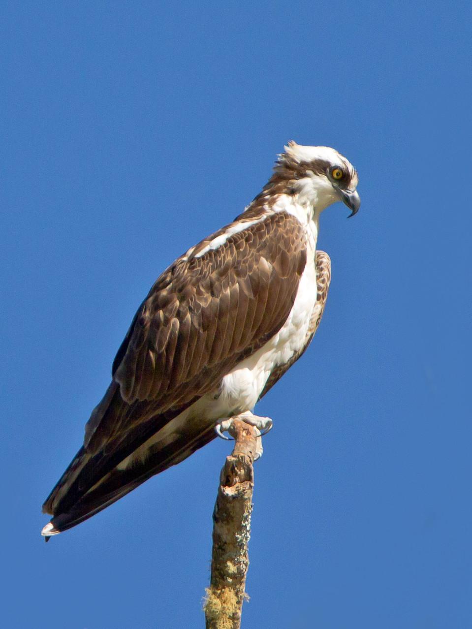 Auch ein Fischadler lebt in der Umgebung der Savegre Lodge