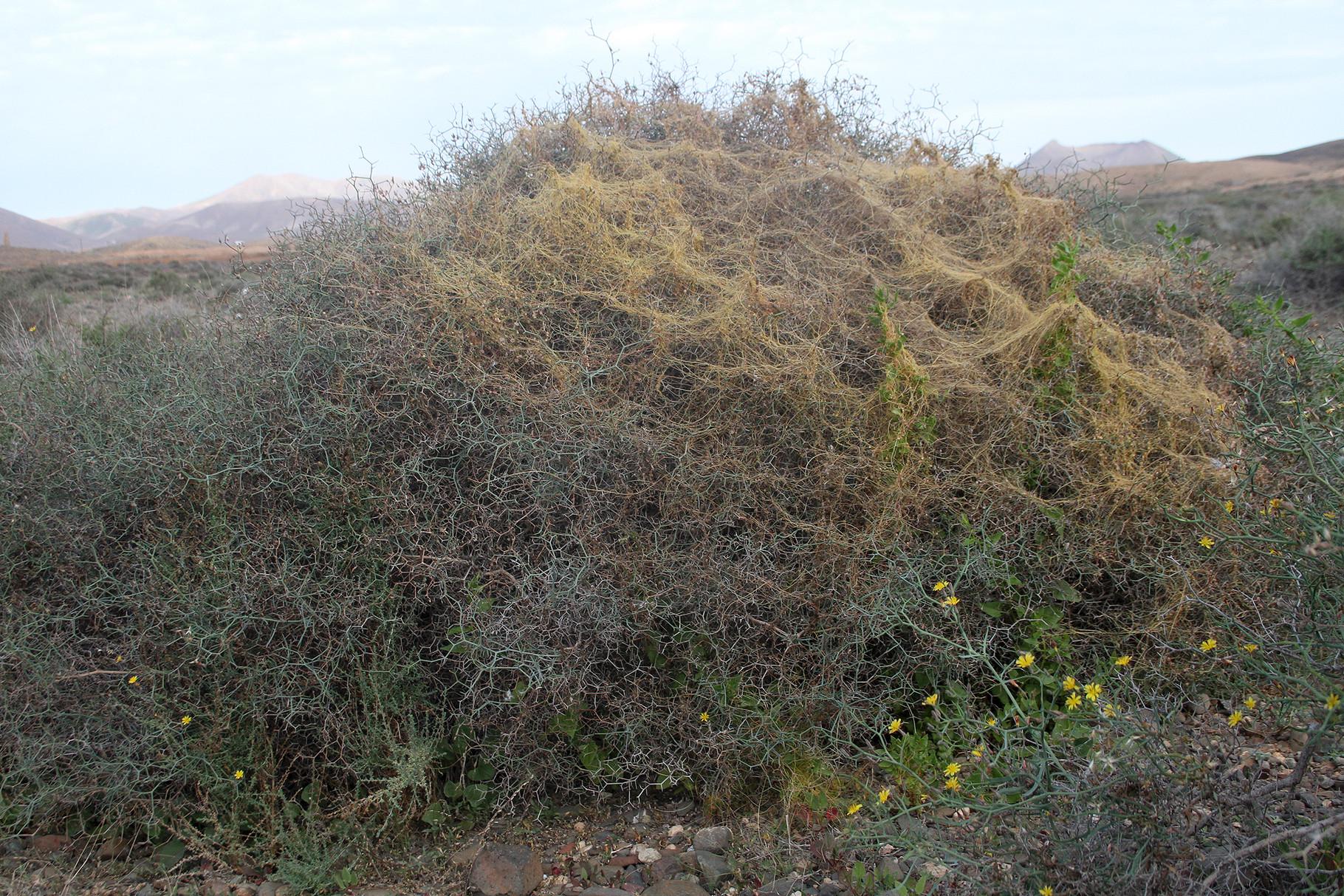 Der Strauch-Dornlattich ist einer der häufigsten Kleinsträucher...