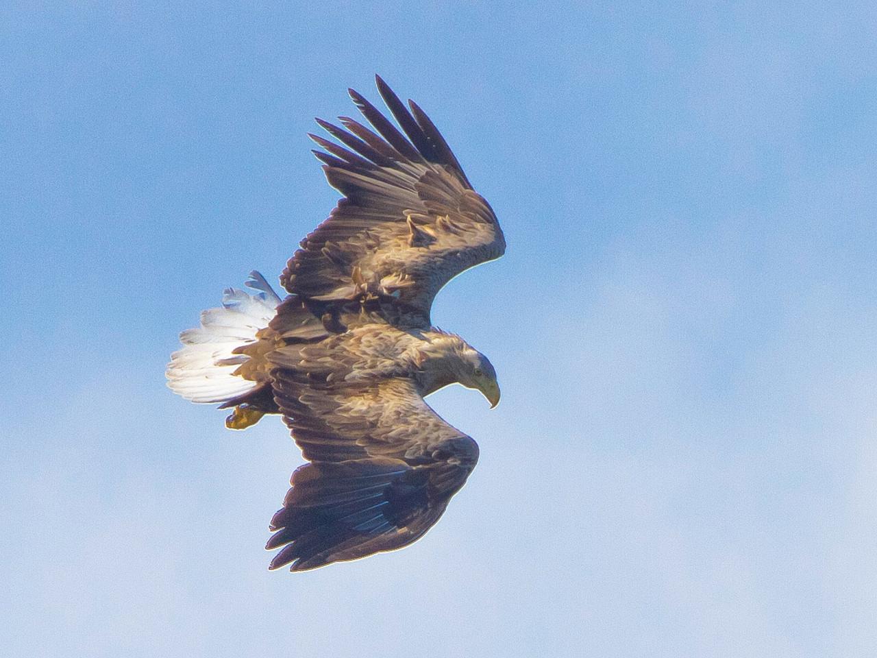 Fliegender Seeadler