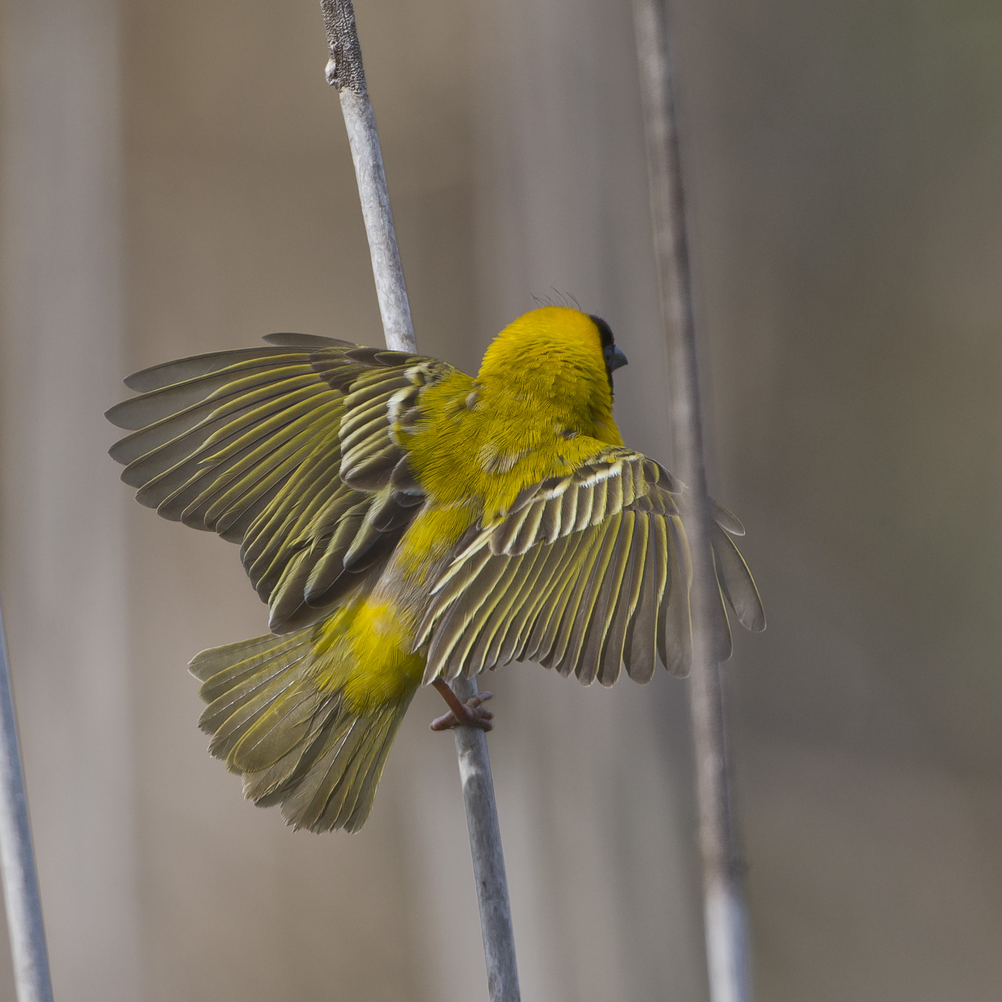 ... mit heftigen Flügelbewegungen ...