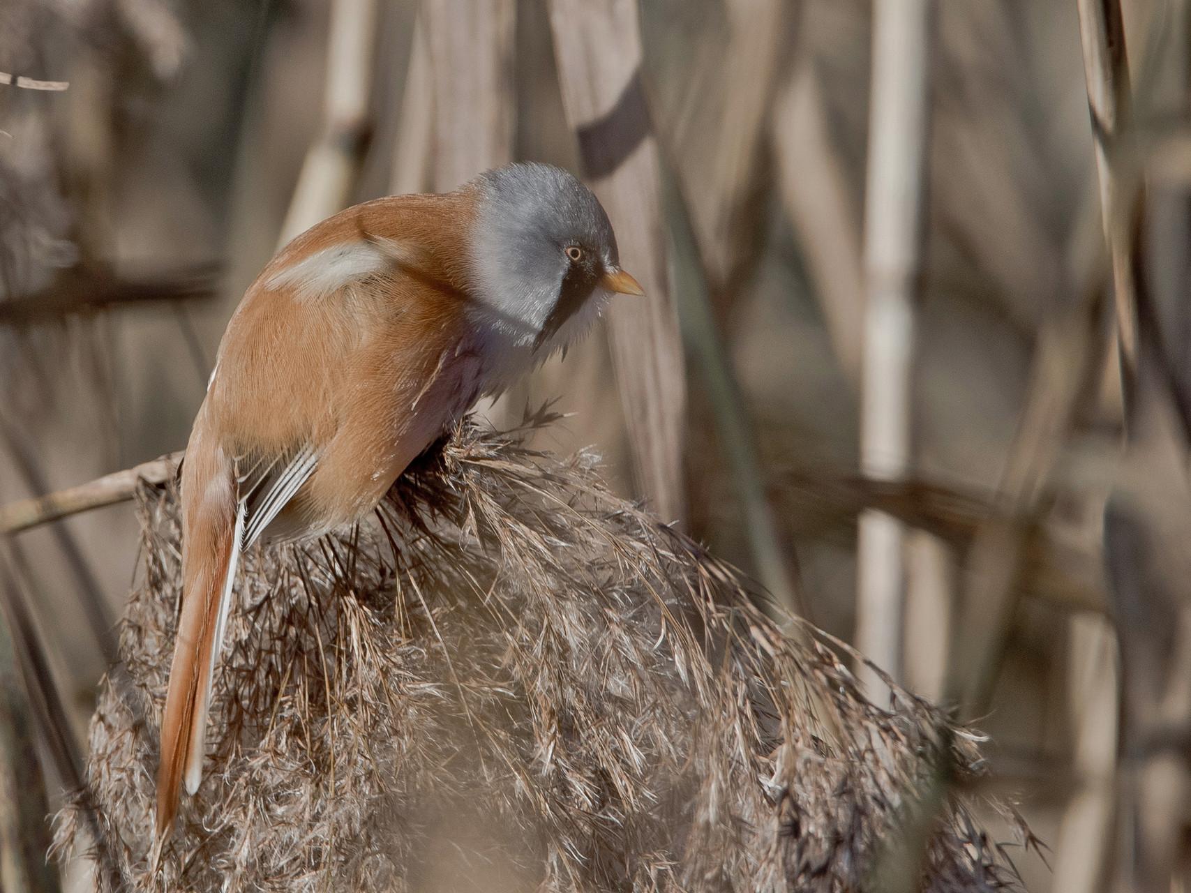 Bartmeise (Panurus biarmicus), Männchen