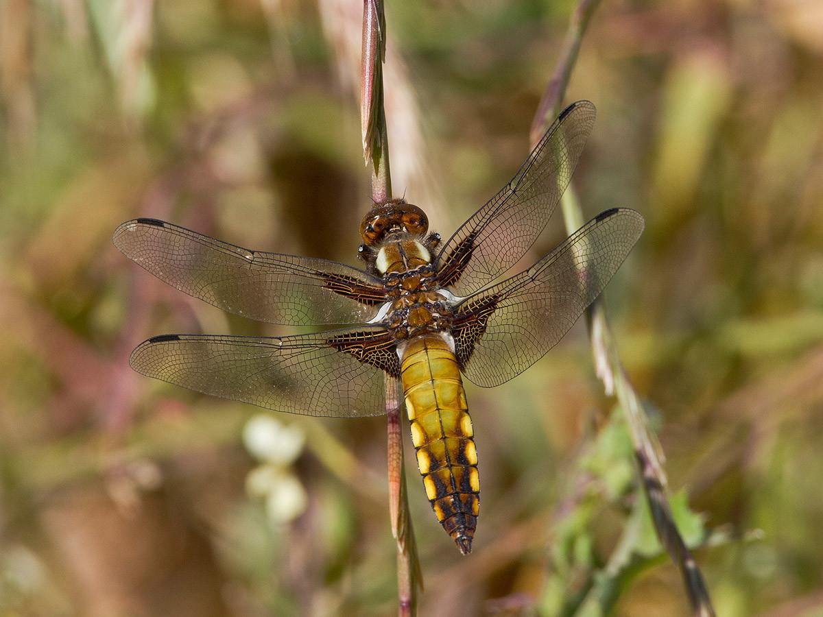 Weibliche Plattbauchlibelle (libellula depressa)