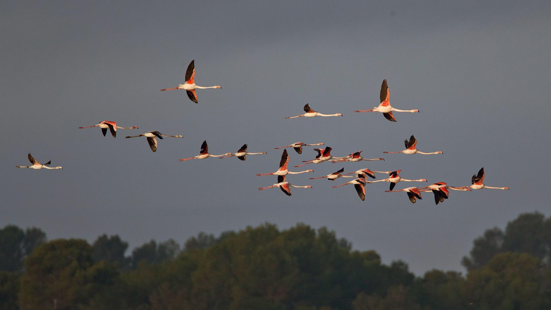 ... fliegen sie in kleineren und grösseren Formationen über den Salinen von Es Salobrar