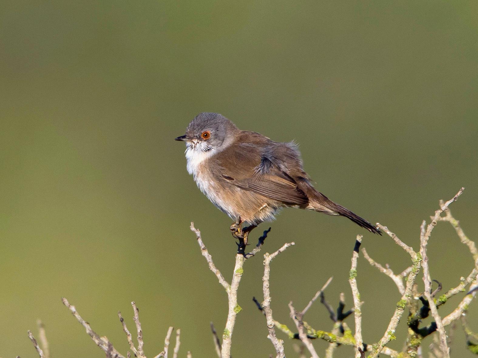 Samtkopf-Grasmücke (Weibchen)