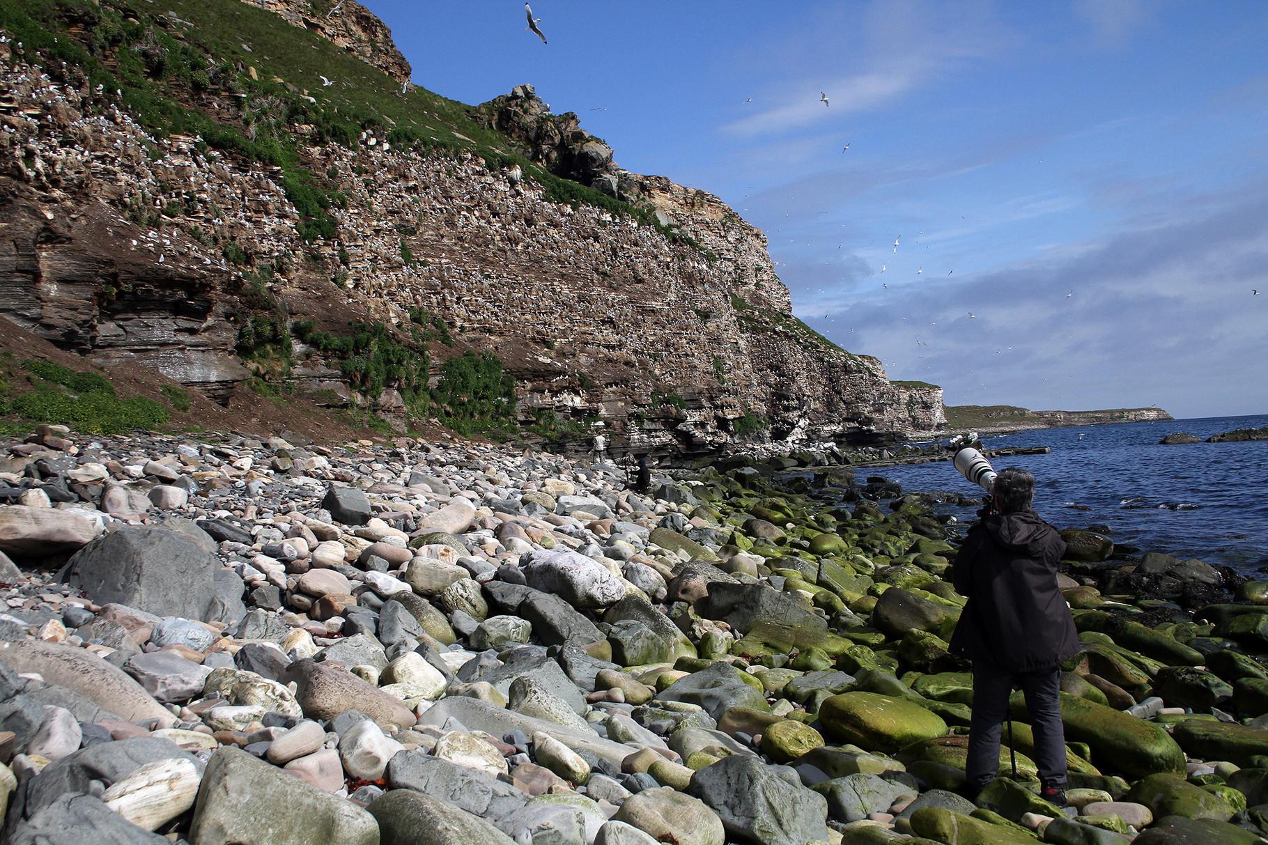 An der südlichen Steilküste von Ekkeroy brüten über 20000 Paare Dreizehenmöwen