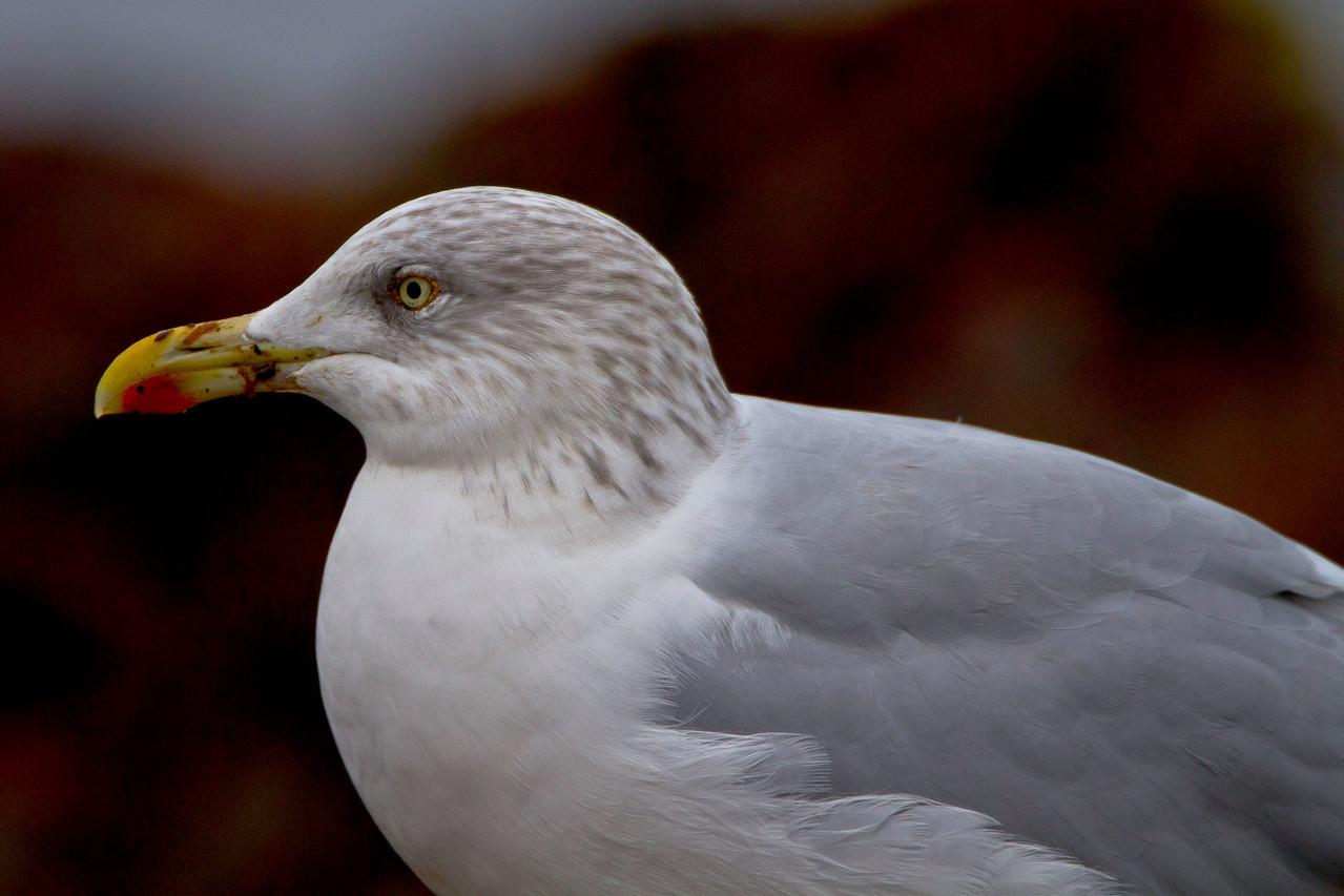 Häufigste Möwenart auf Helgoland: Silbermöwe