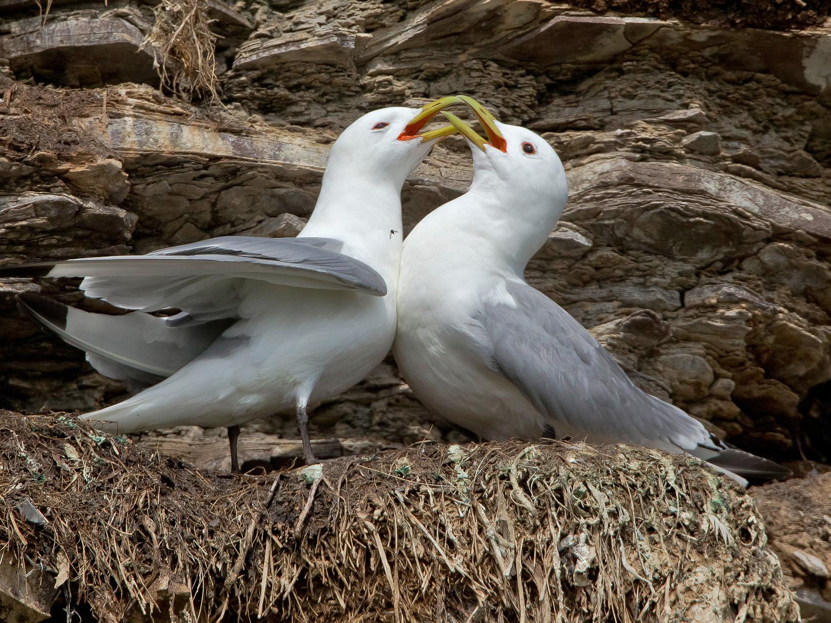 Dreizehenmöwe: Begrüssung nach der Rückkehr des Partners