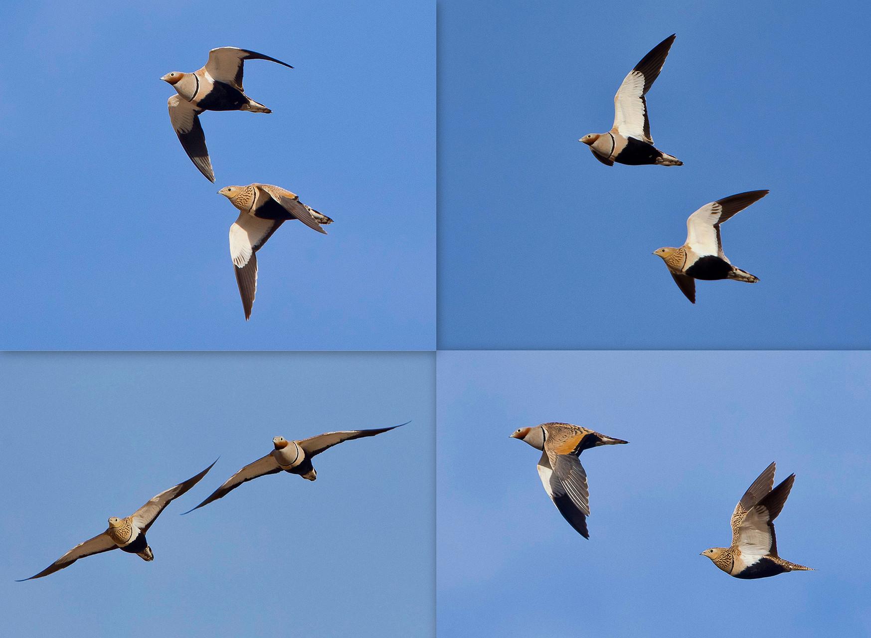 Sandflughuhn-Paare fliegen oft im fast perfekten Synchronflug (à la Patrouille-Suisse)