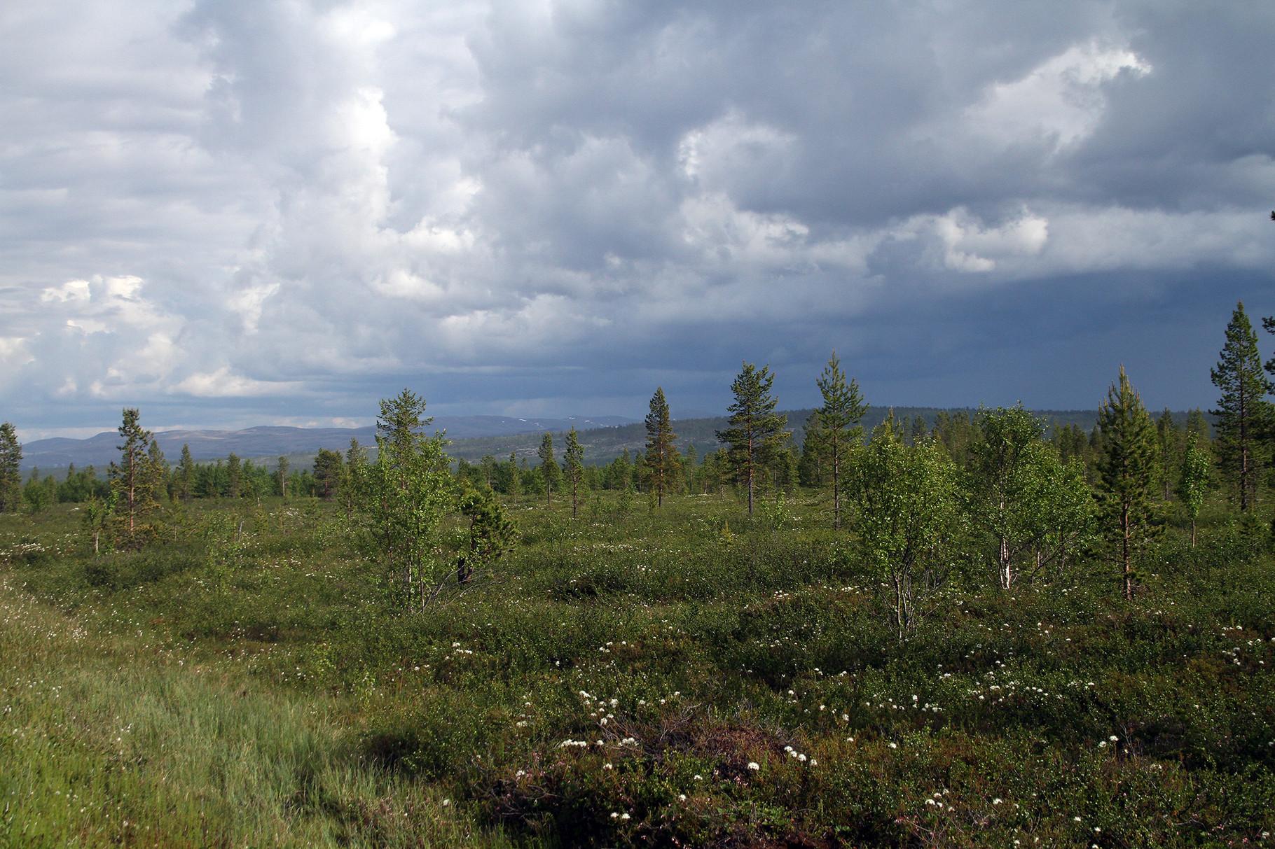 Typische Sumpflandschaft mit einzelnen Föhren...