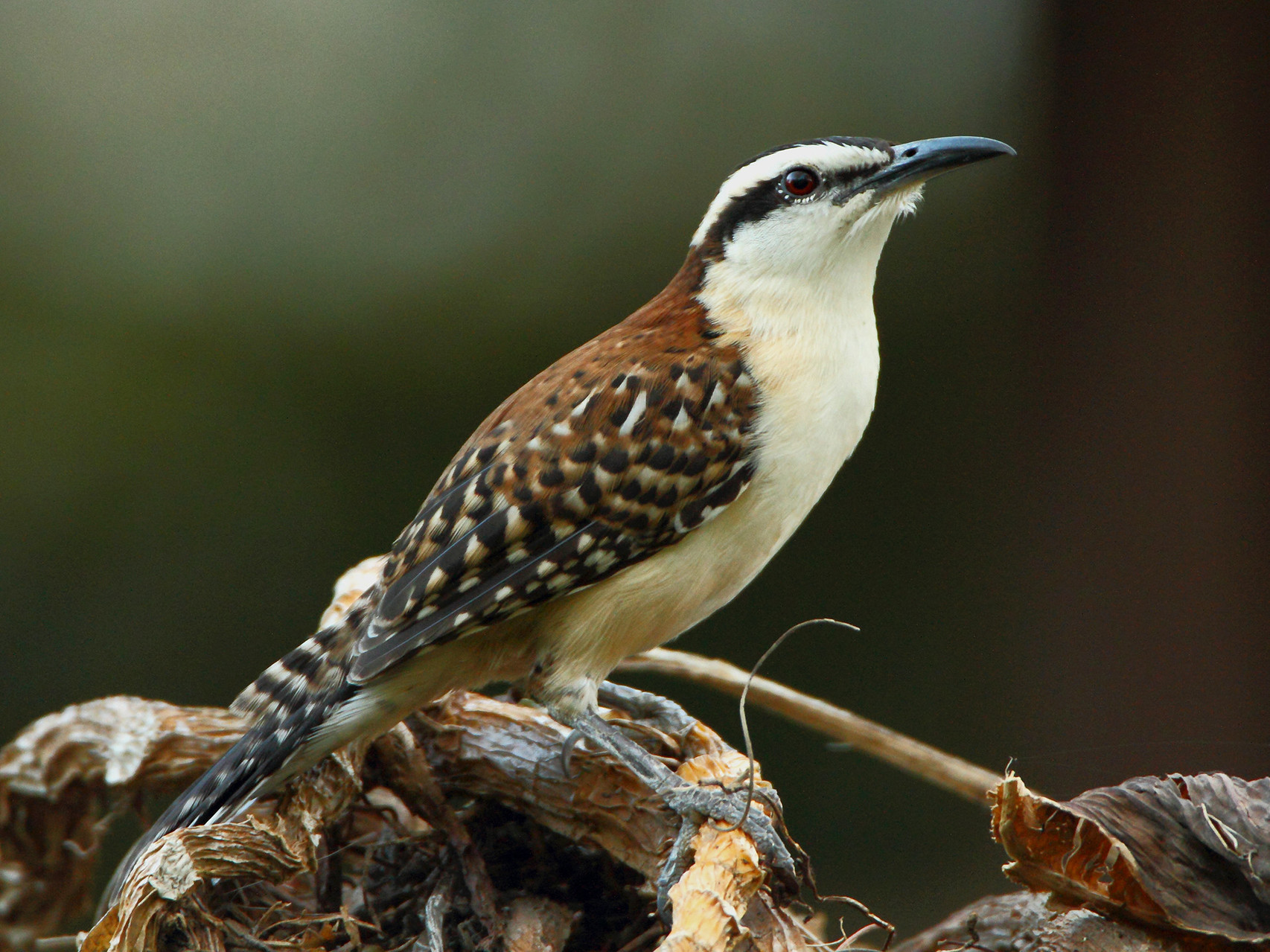 Interessante Vögel im Hotelgarten: Rotnacken-Zaunkönig...