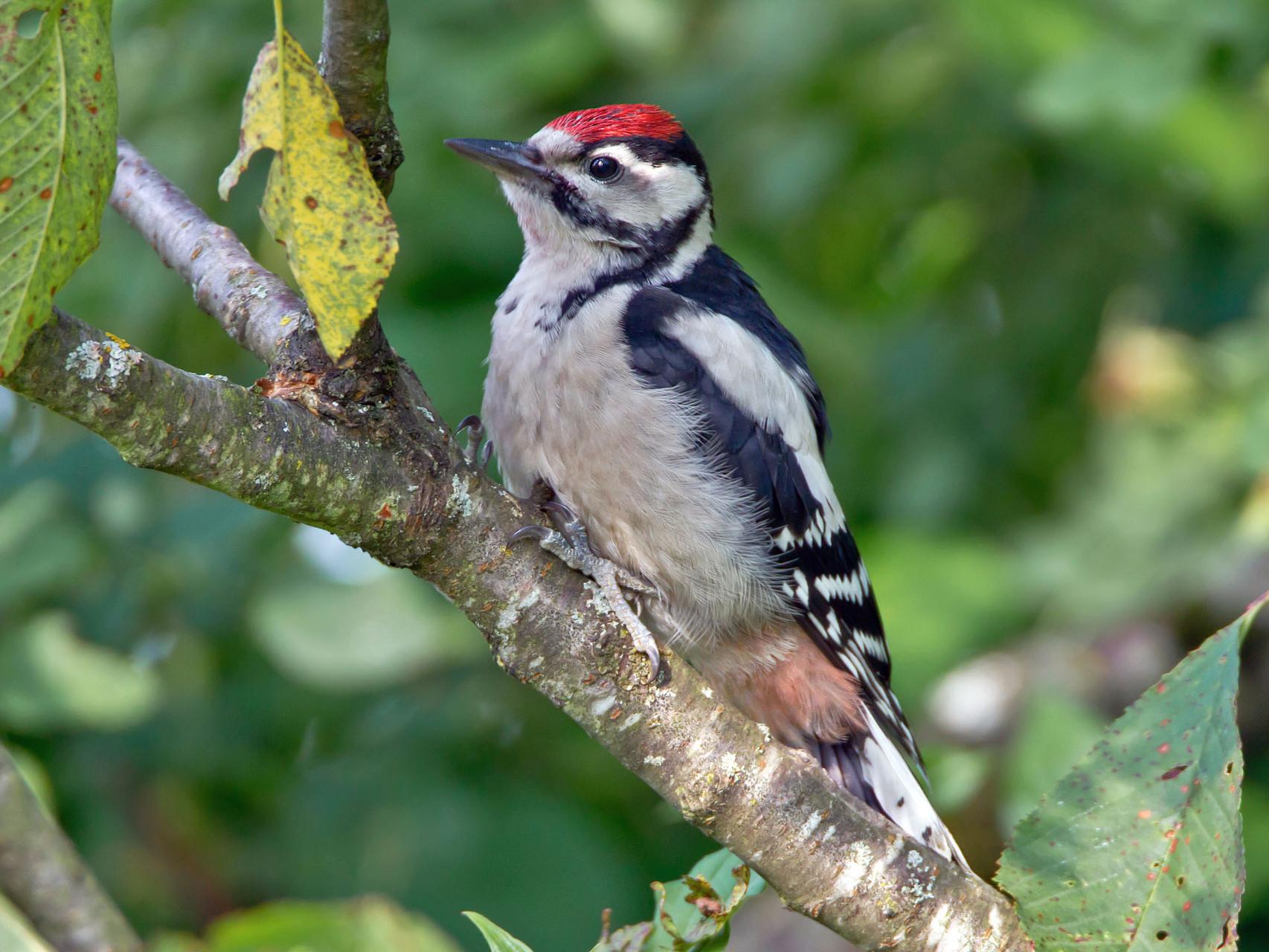 Juveniler Buntspecht, erkennbar an der roten Kappe, nach dem Ausfliegen