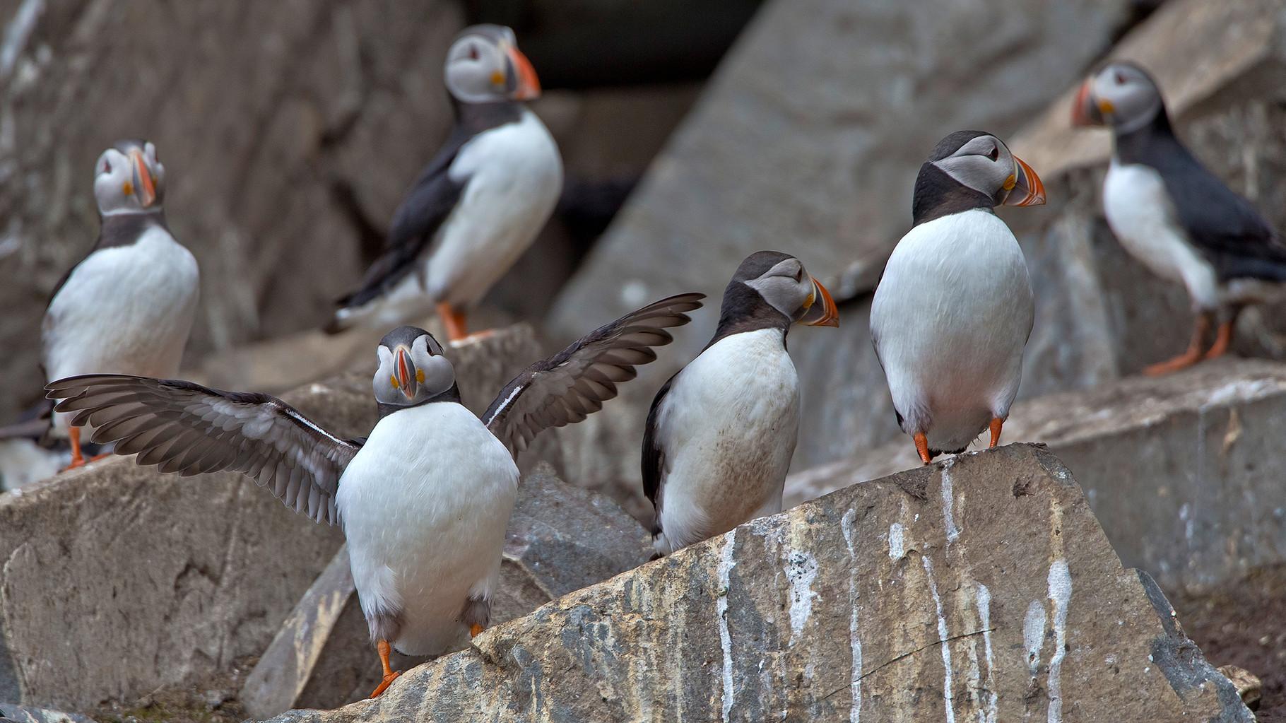 Auf der Insel brüten 10000 Paare Papageitaucher