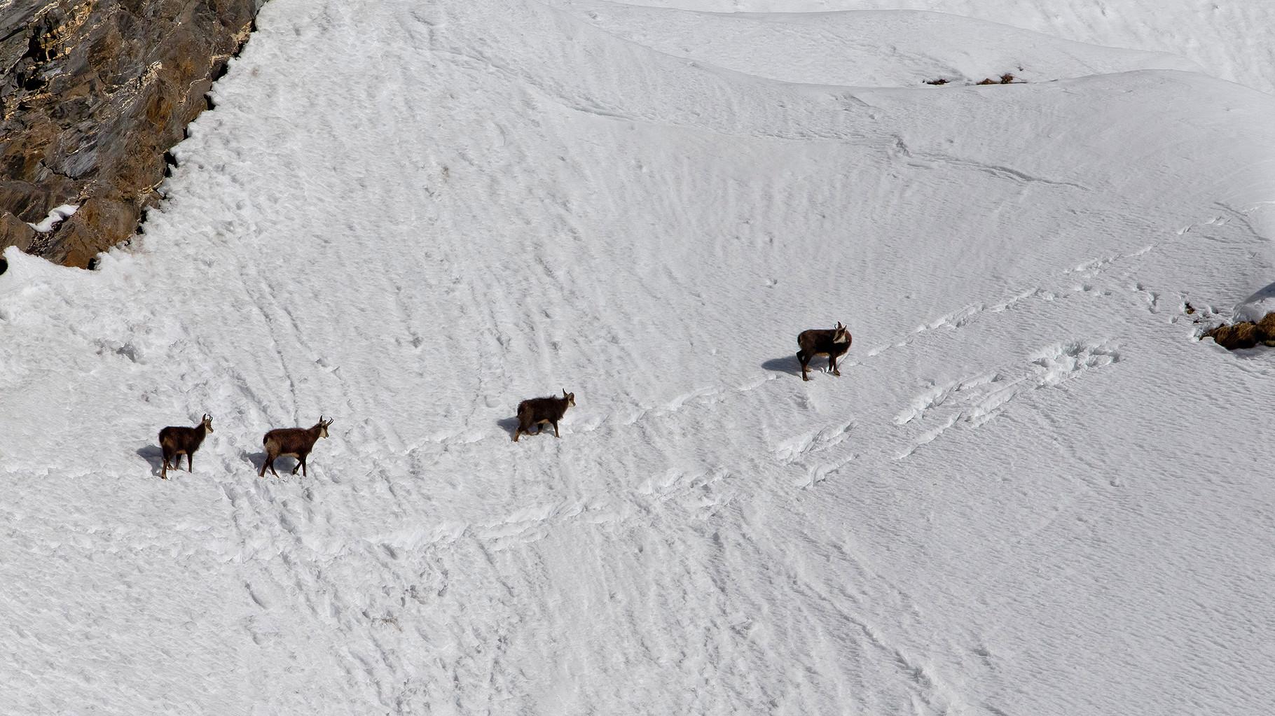 Eine Gruppe Gemsen quert einen steilen Schneehang