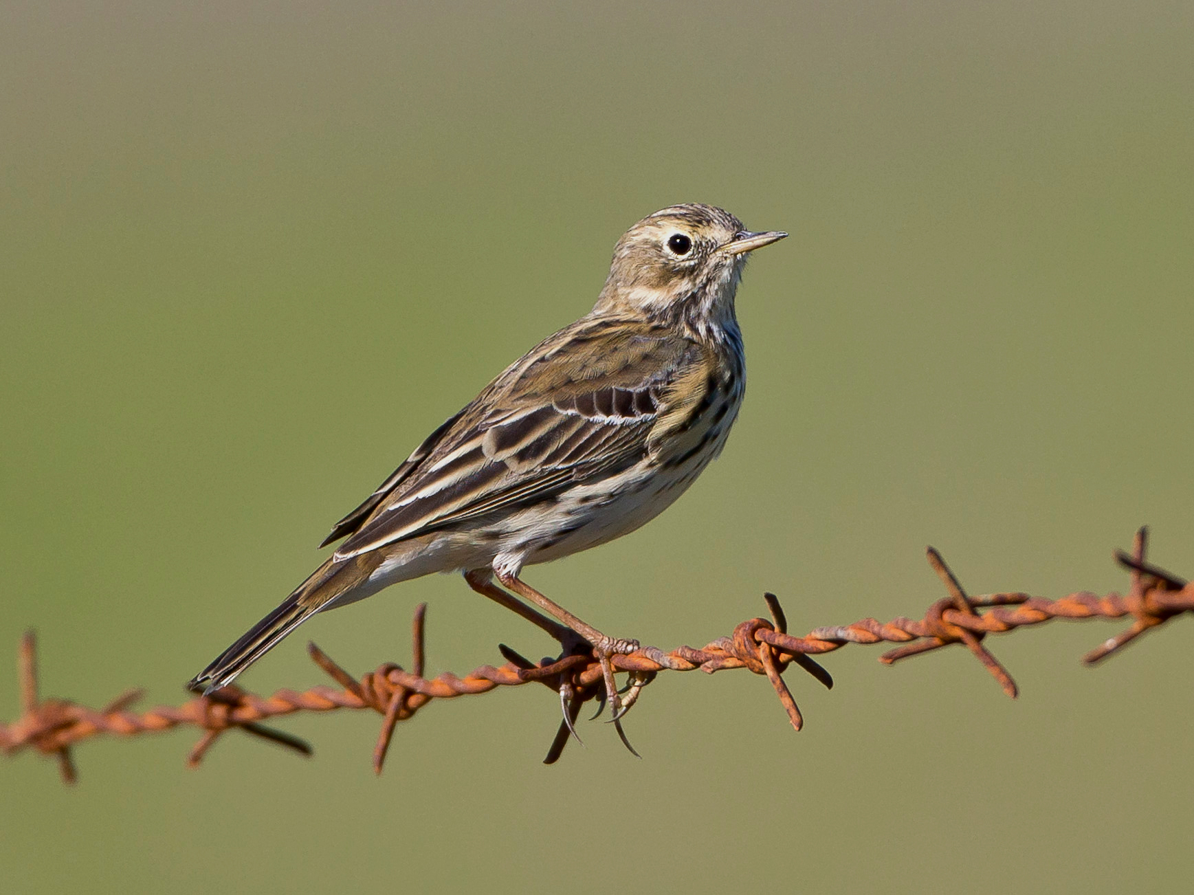 """Viele Singvögel lassen sich am Wegrand vom Auto aus fotografieren, meist auf """"hässlichem"""" Stacheldraht, hier der Baumpieper, ebenfalls ein Durchzügler..."""