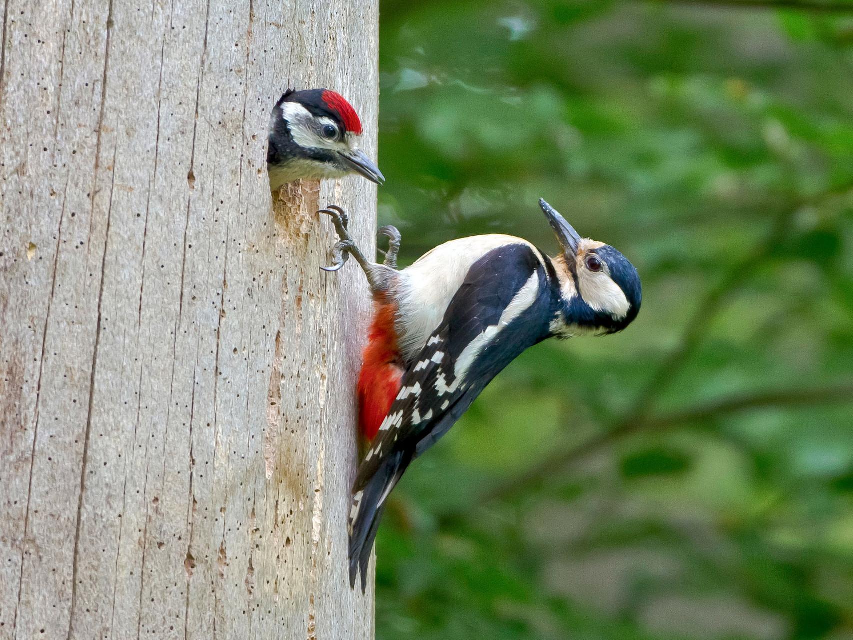 Nach der Paarung legt das Weibchen ca. 6 Eier in die neu gezimmerte Baumhöhle