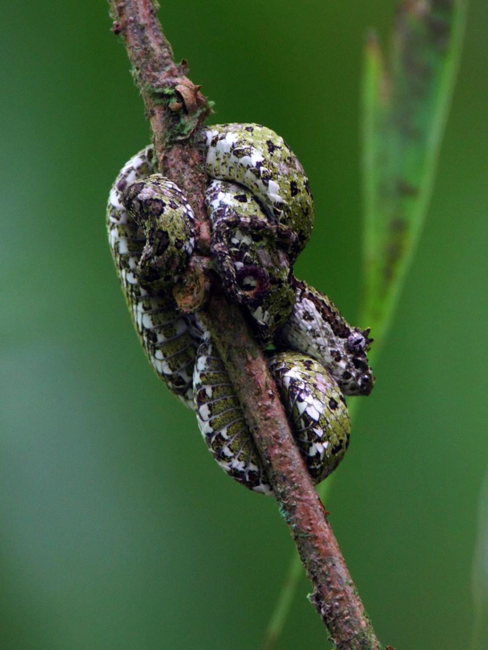 ... und die Begegnung mit kleinen, sehr giftigen Schlagen: eine Eyelash Viper