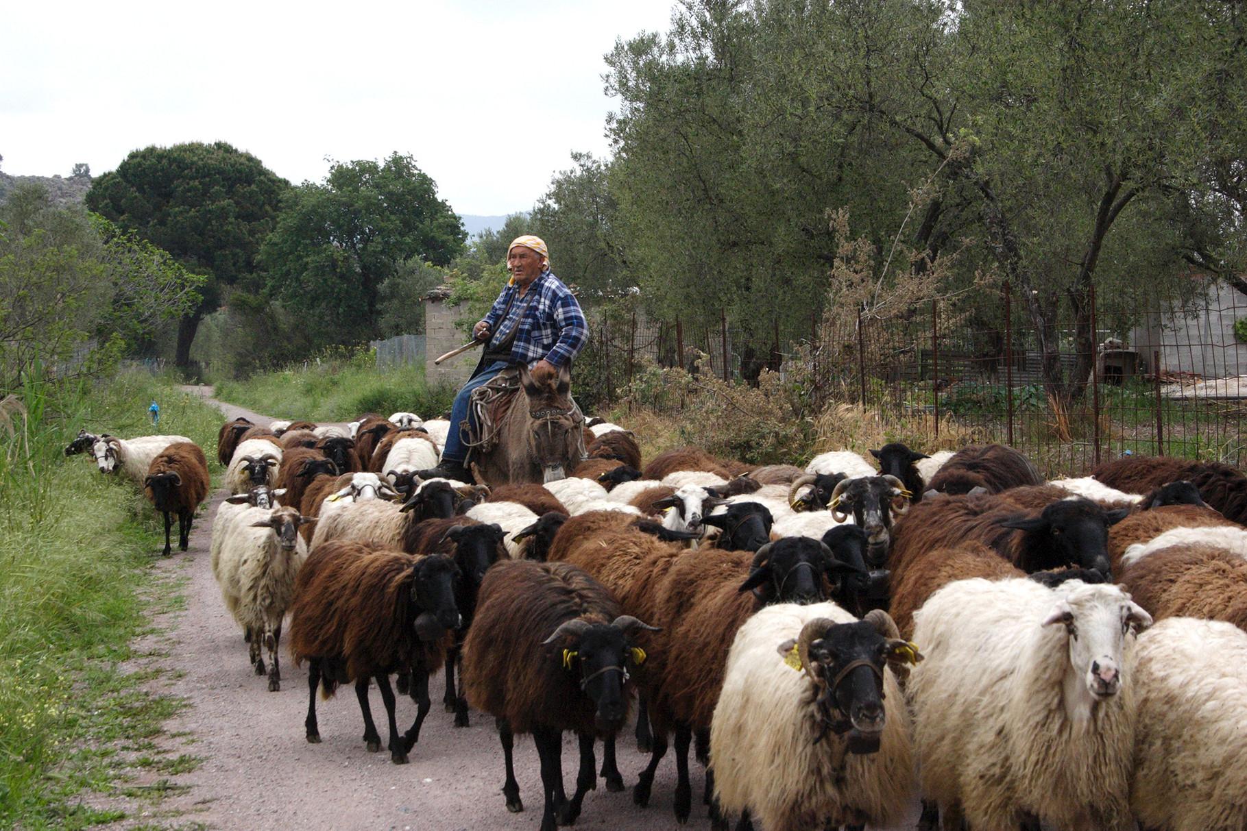 Griechenland pur: ein Hirte auf einem Esel treibt seine Schafe auf die Weide