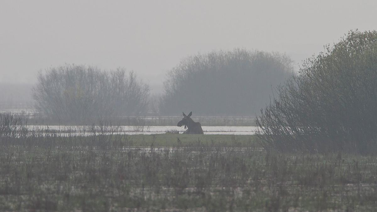 Mystische Stimmung: Elchkuh mit Jungtier im Nebel.