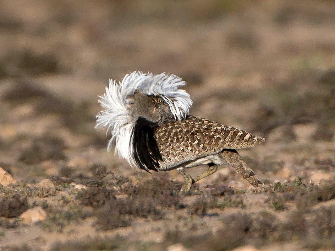 """Mit viel Glück setzt sie zu einem """"Balzlauf"""" an und rennt mit gesträubten Kragenfedern durch die Wüste"""