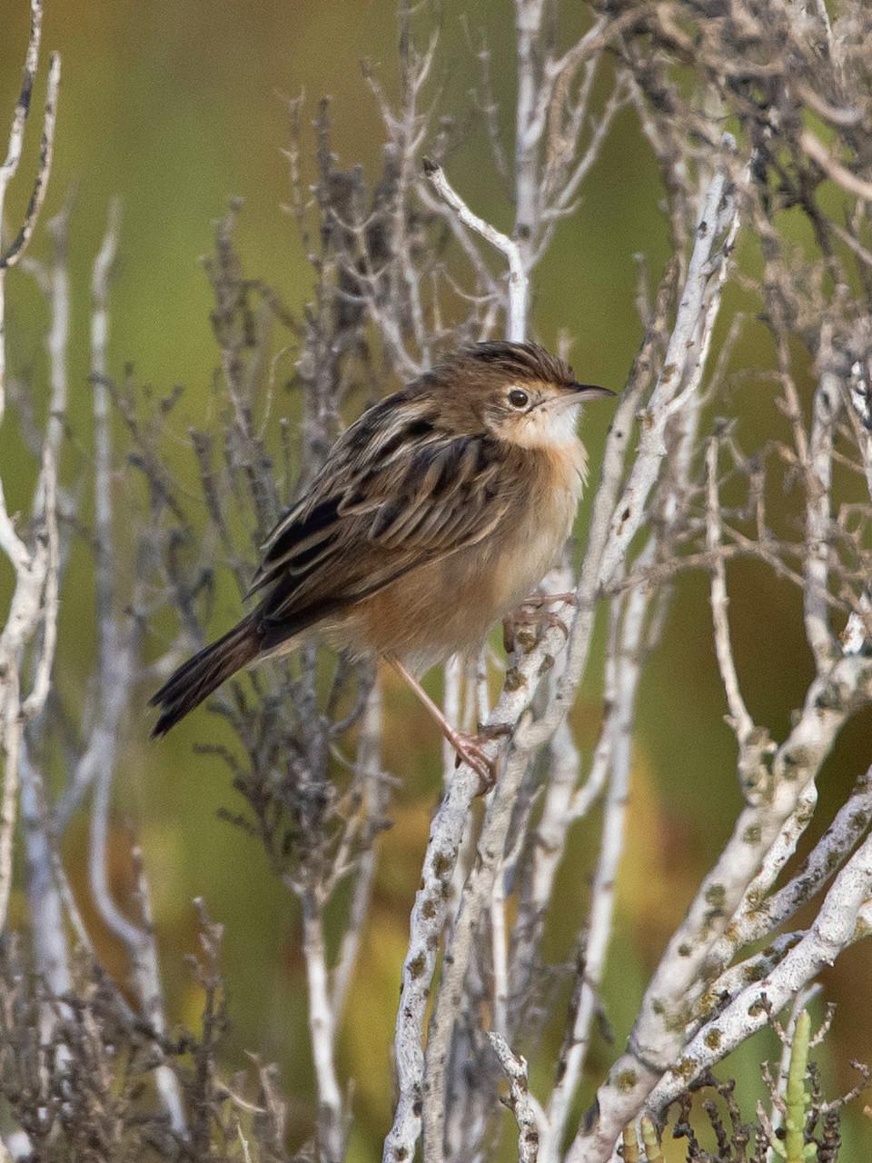 Weitere auf Mallorca beobachtete Arten: Cistensänger...