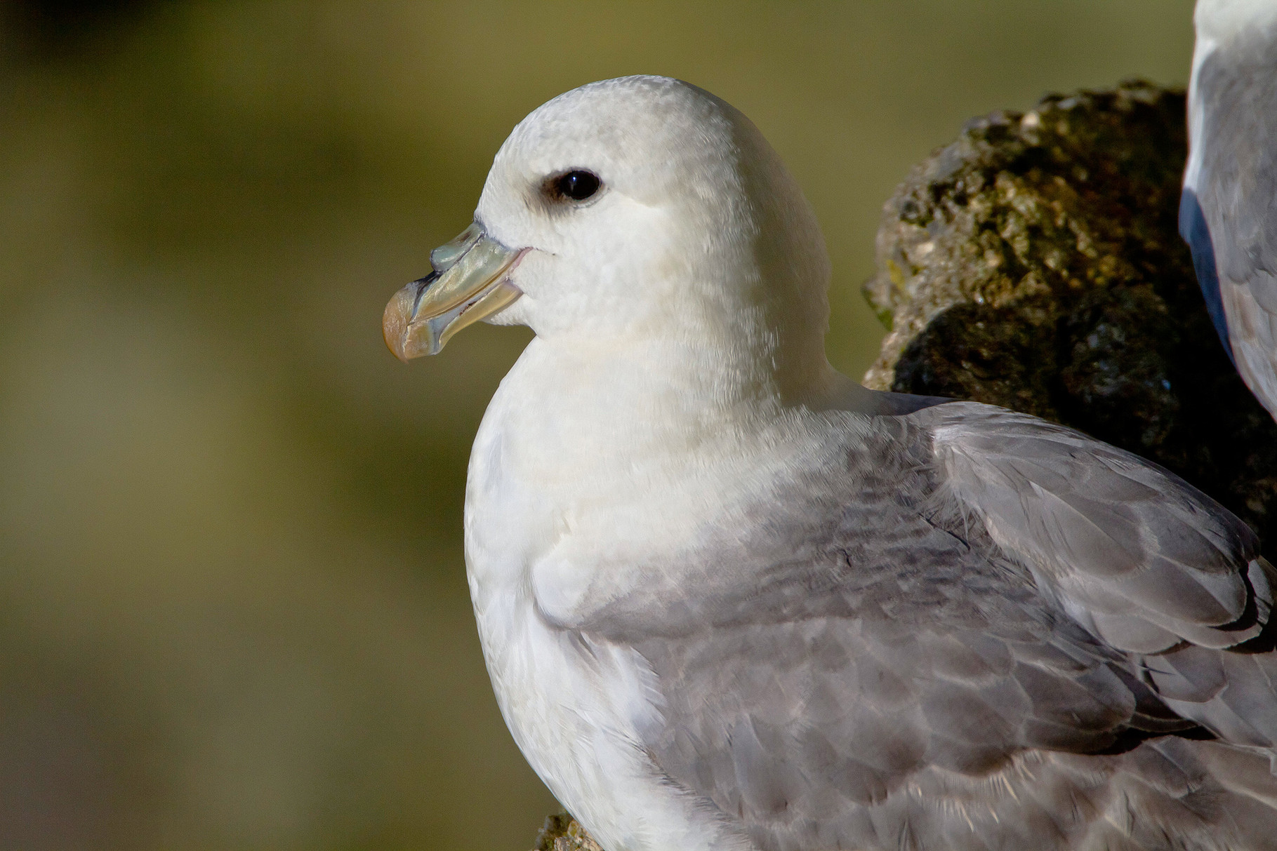 Eissturmvogel, Shetland, Grossbritannien